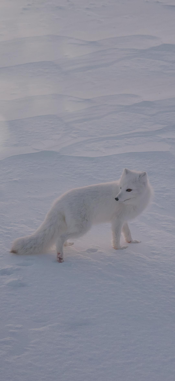 Portrait of a white fox