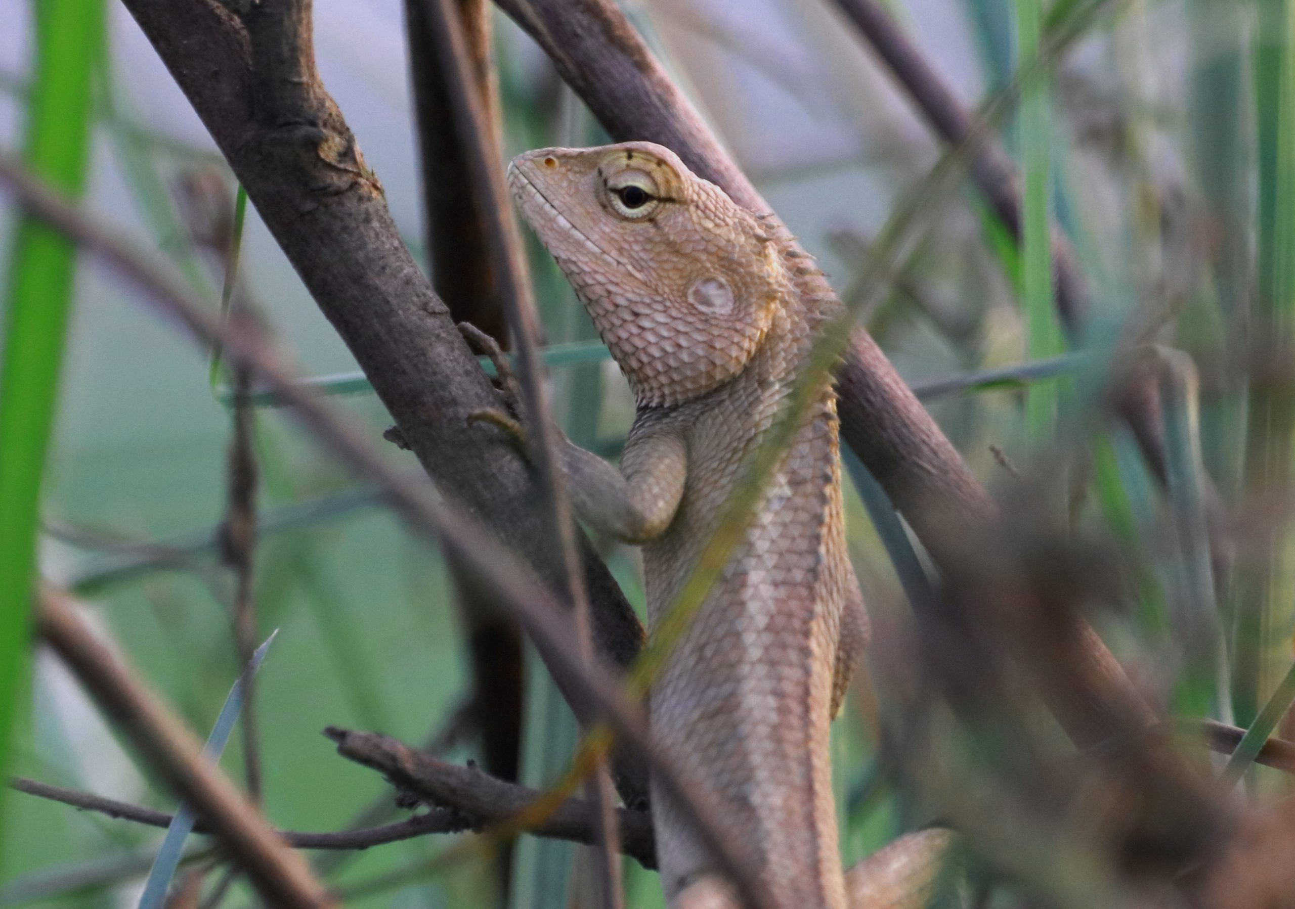 Garden lizard clawing on a branch