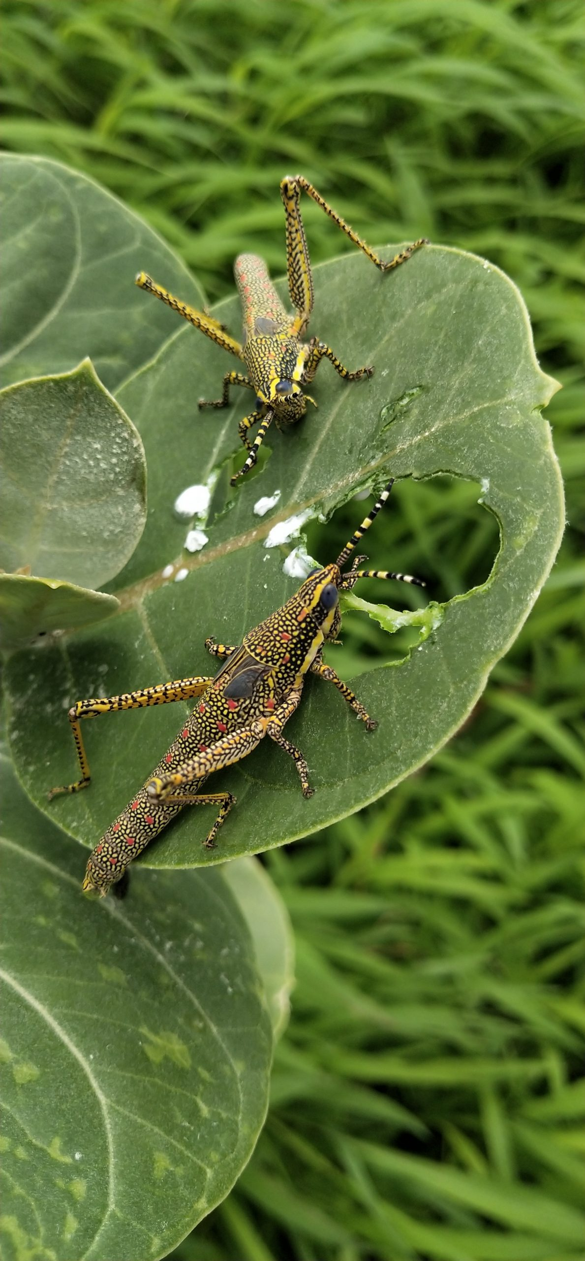 Grasshoppers on a leaf
