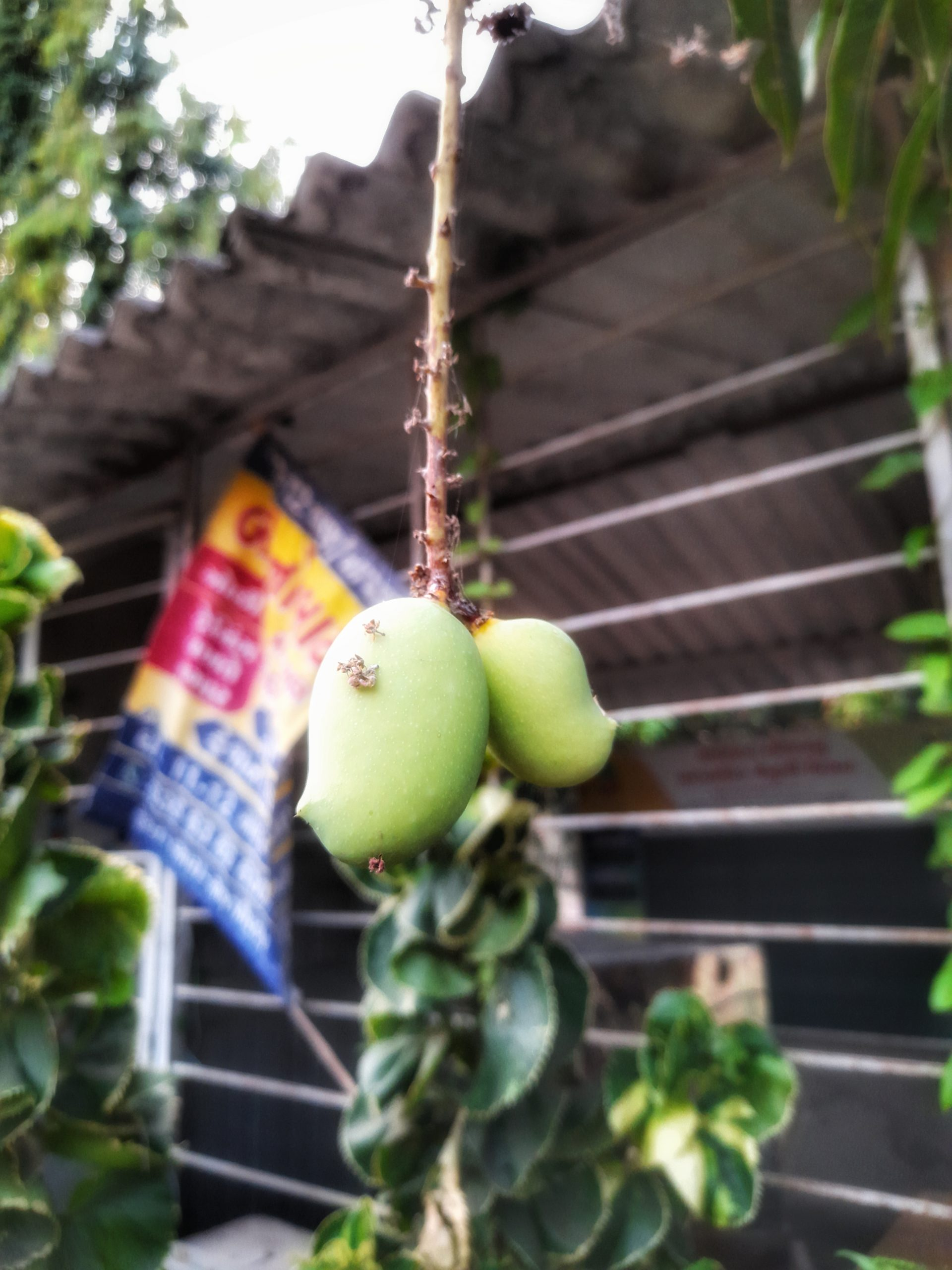 Hanging green mangoes