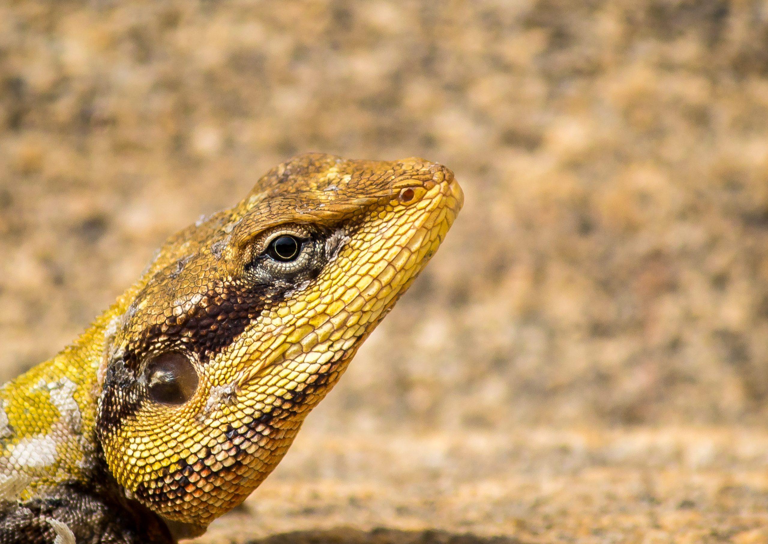 Head of a garden lizard