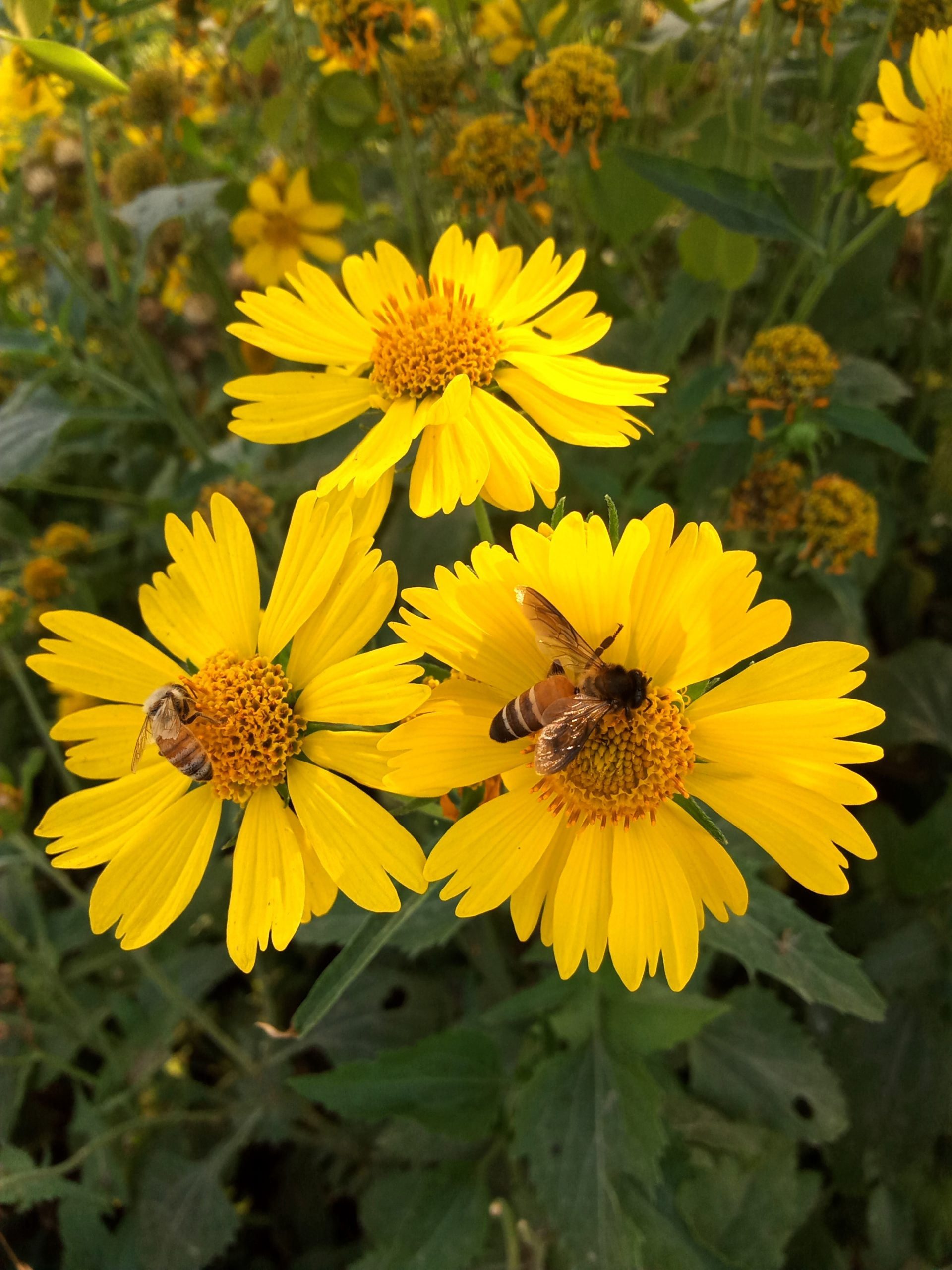 Honeybees on sunflowers