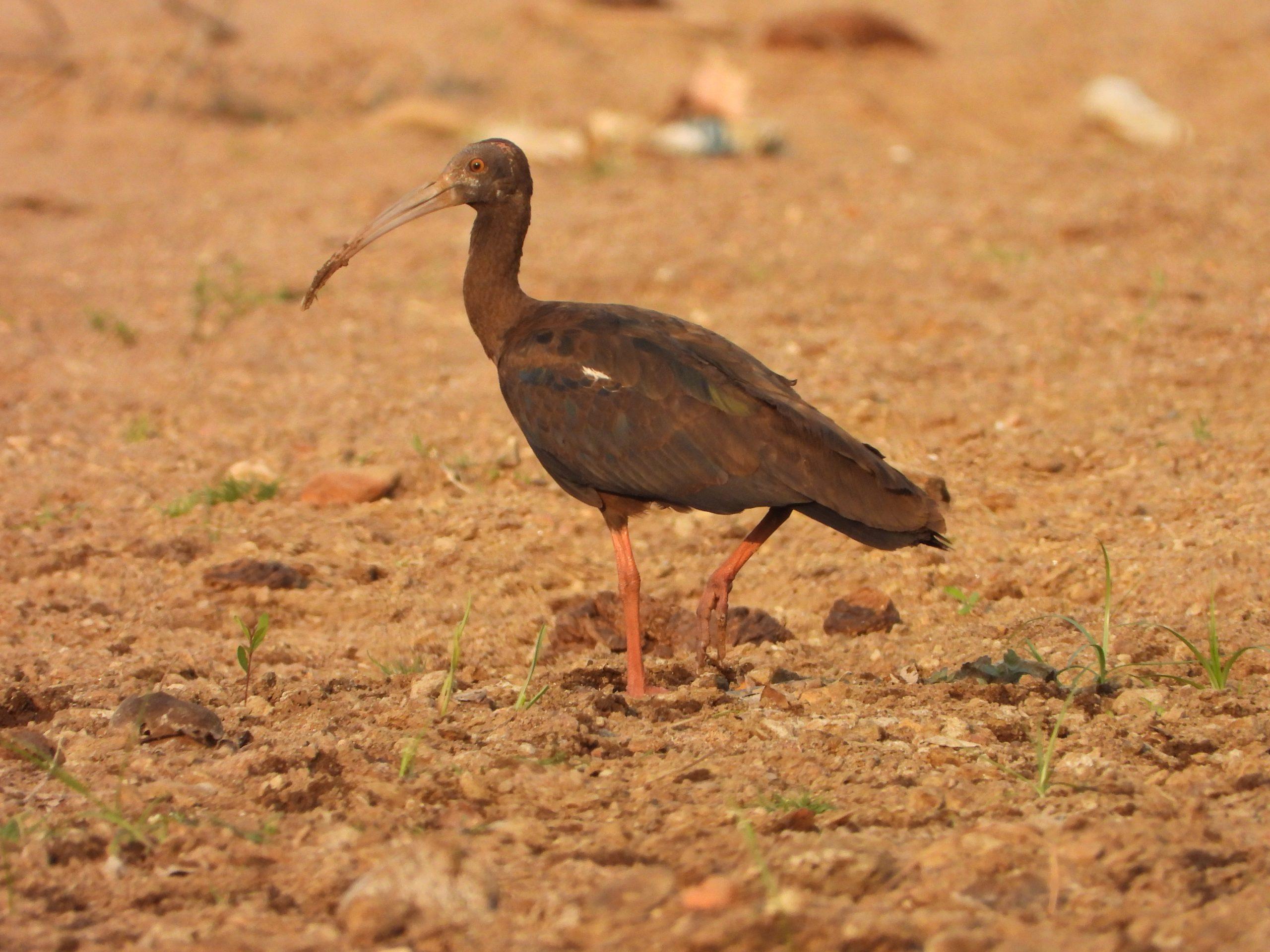 An Ibis bird