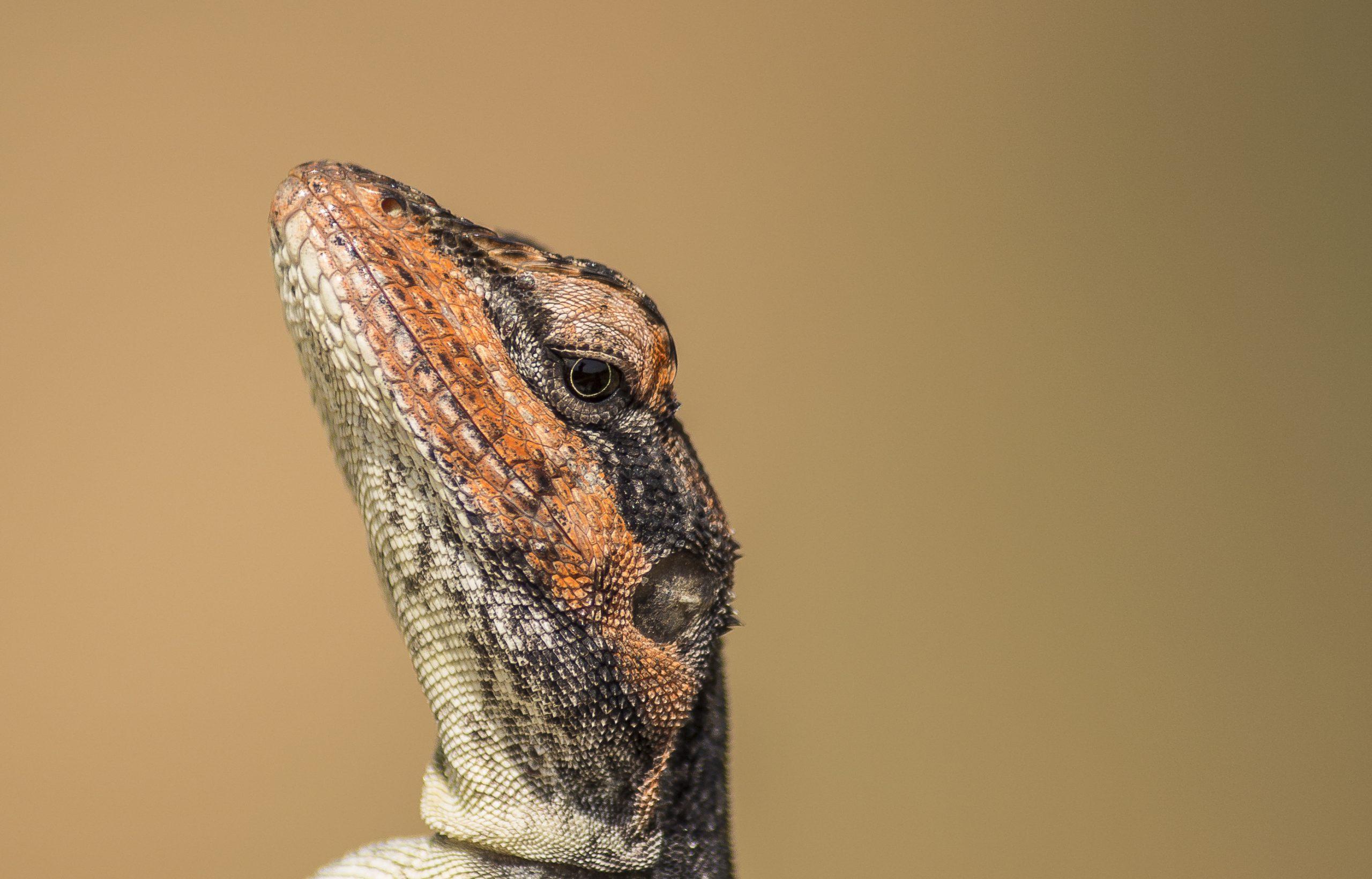 Macro shot of Garden lizard