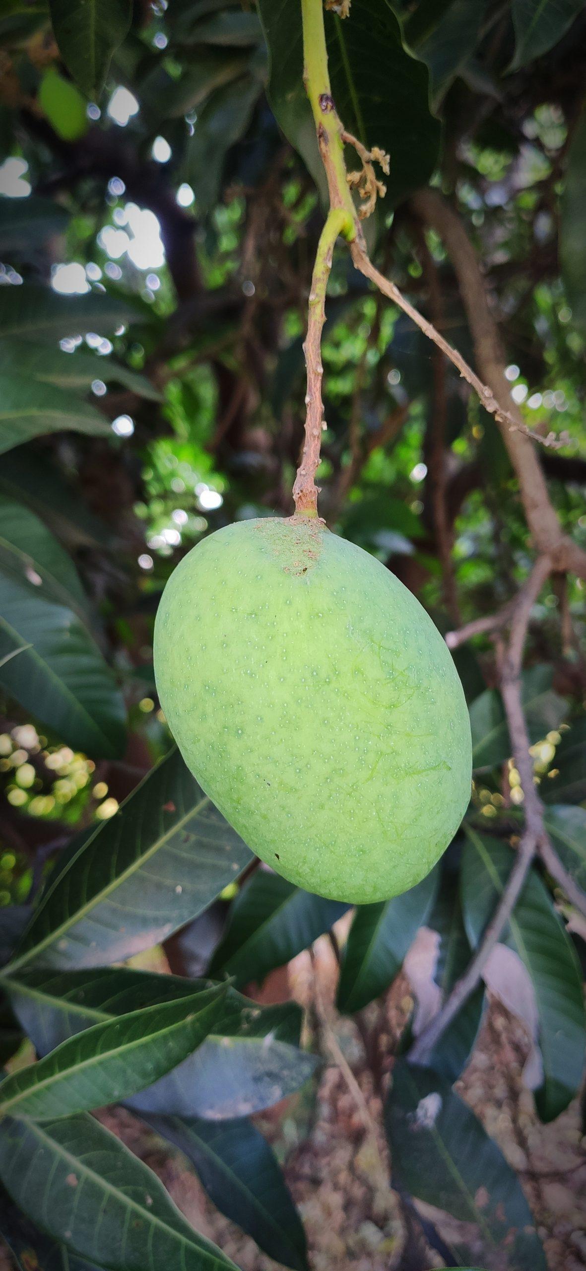 Mango fruit on mango plant