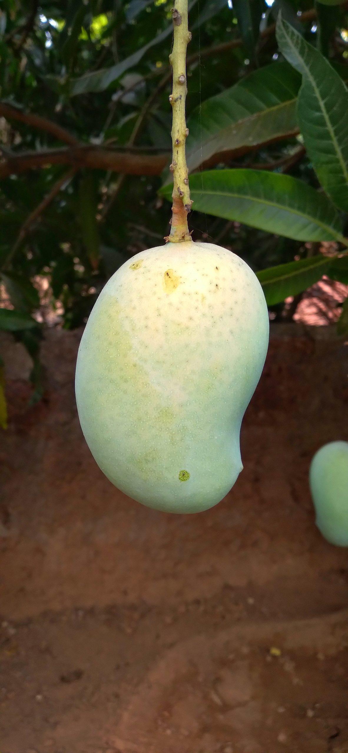 Mango hanging on plant