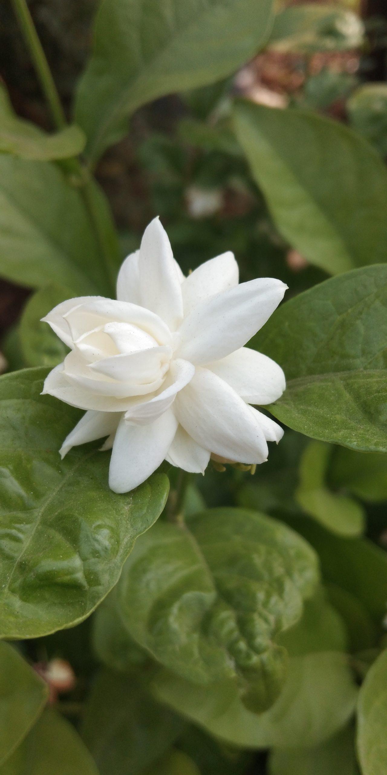 Mogra flower