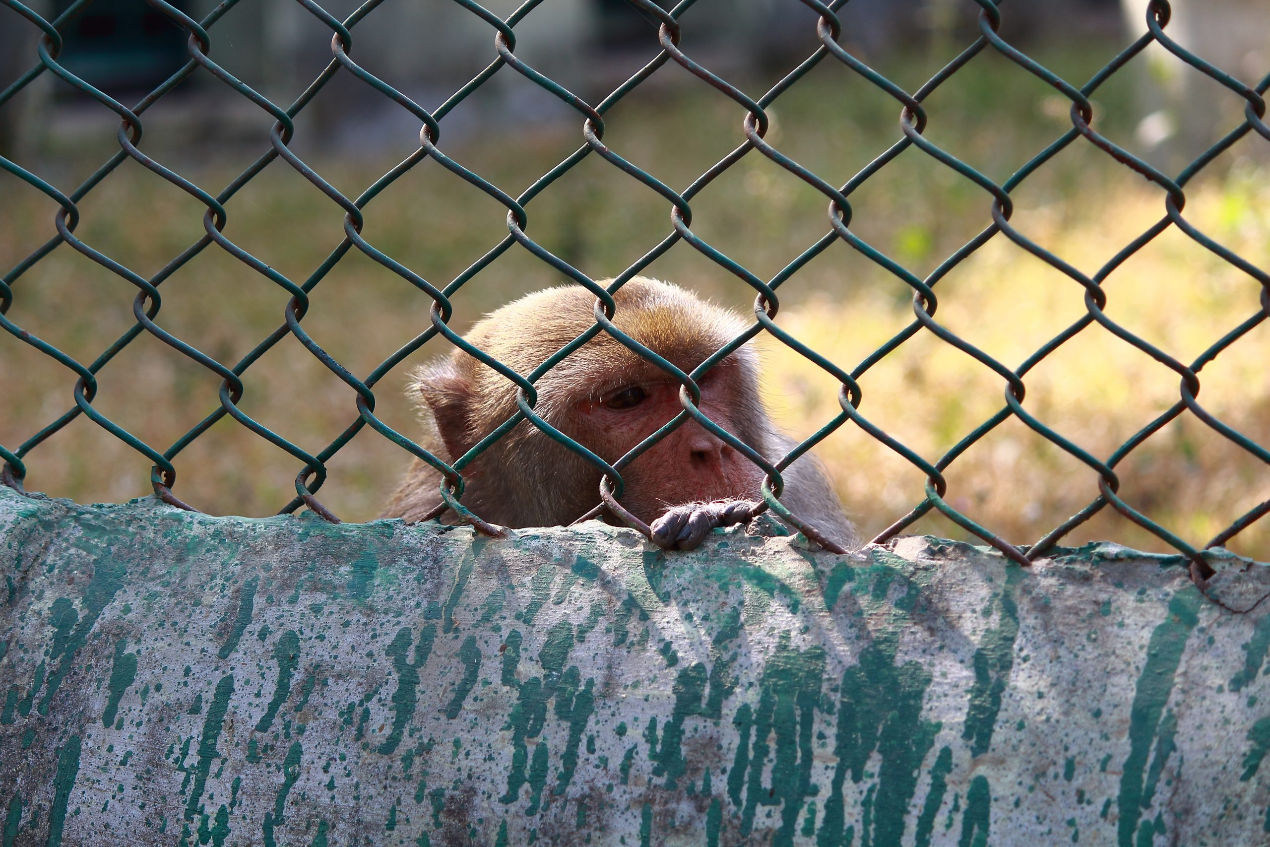 Monkey behind the steel cage