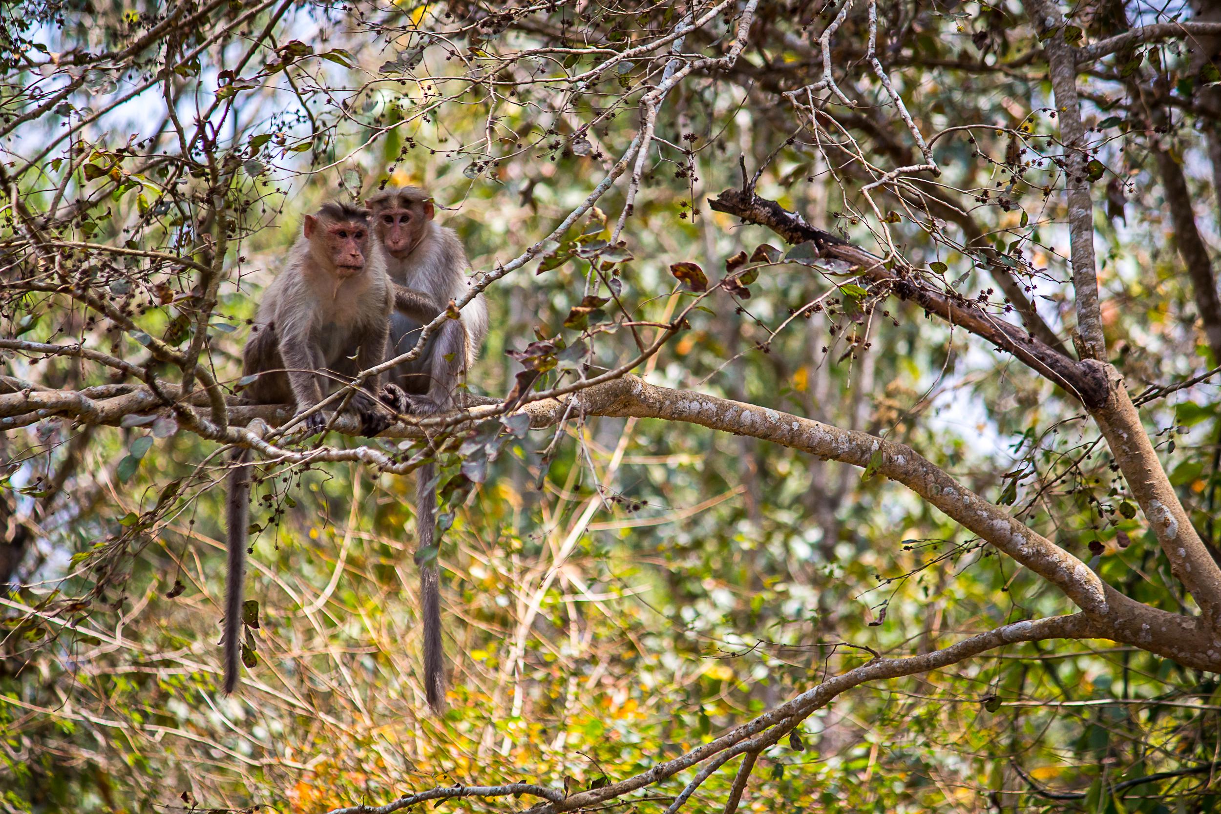 Monkeys sitting on tree branches