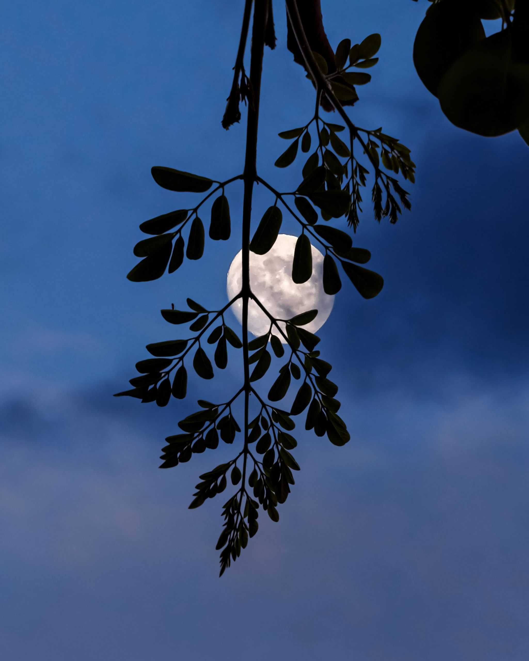 Moon behind a tree branch