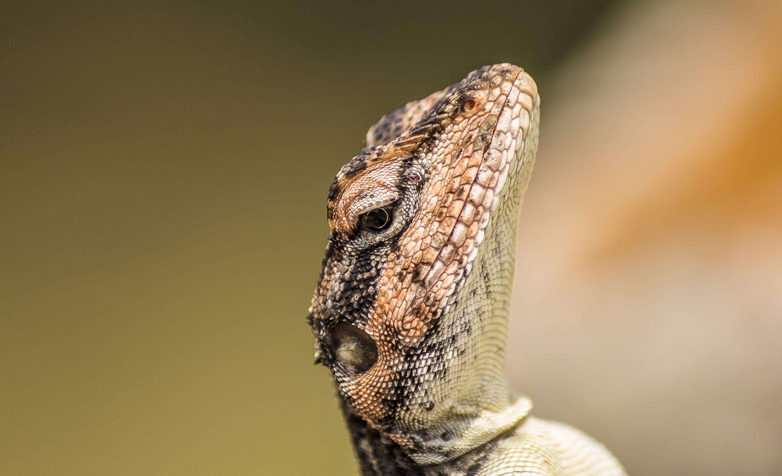Neck of Garden lizard