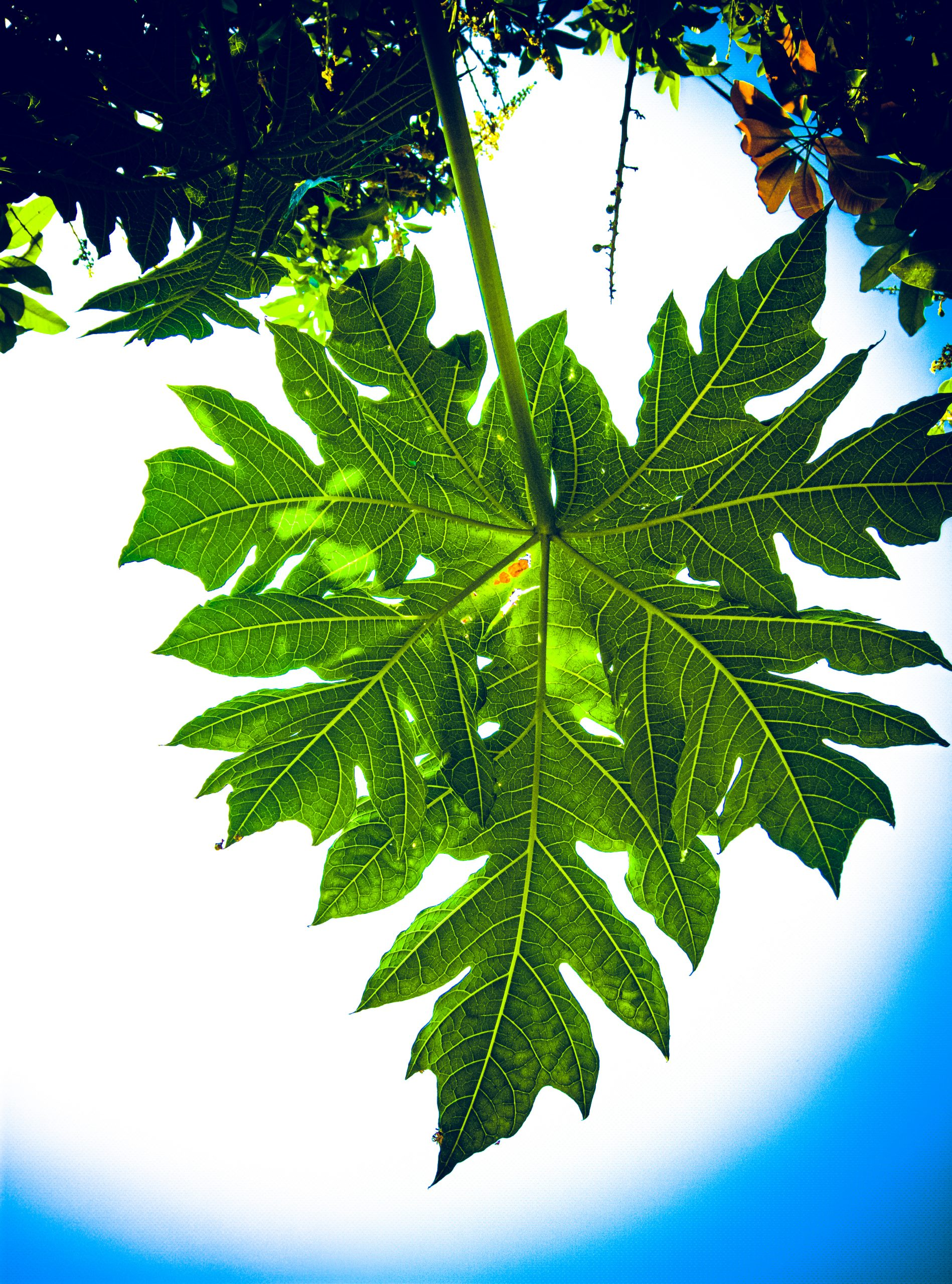 Papaya tree leaves