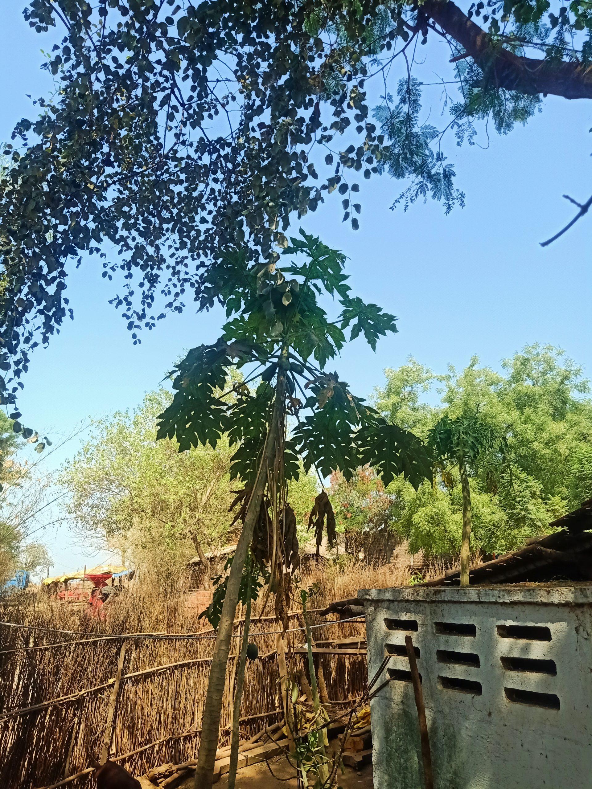 Papaya tree under a big tree