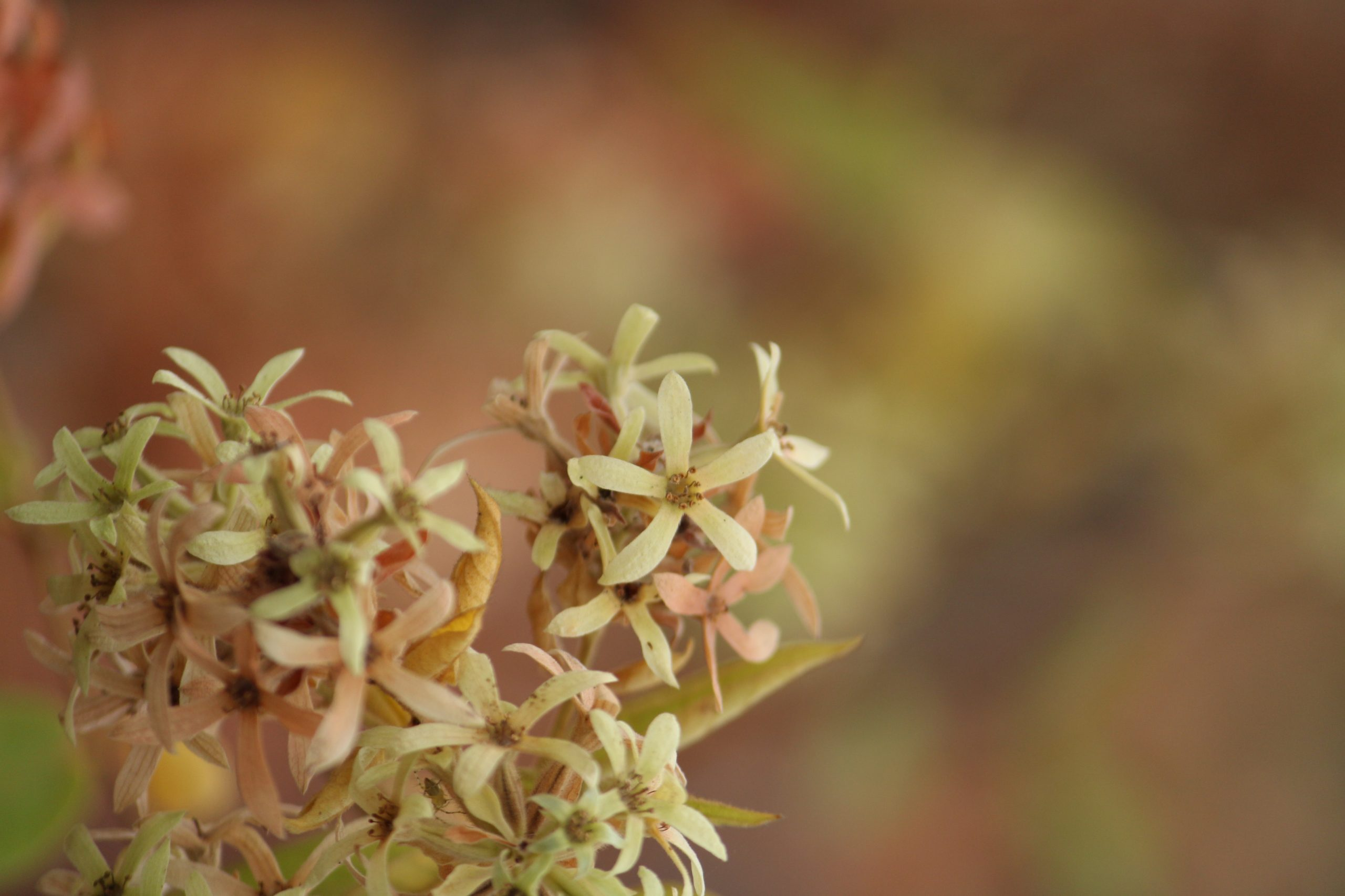 Paperflowers plant