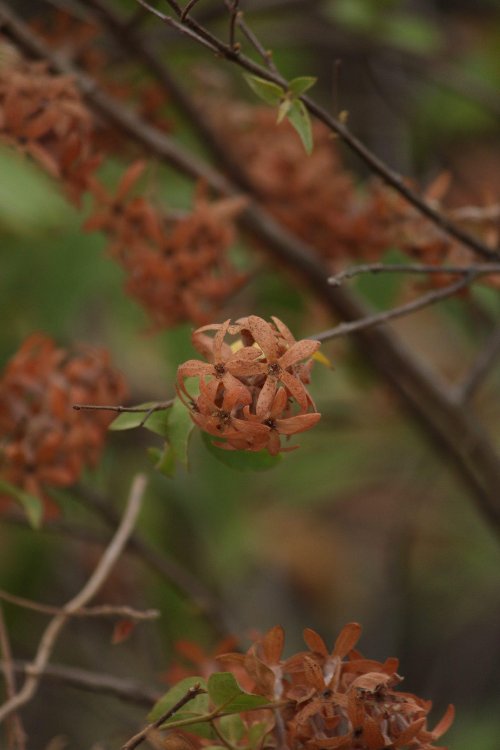 Paperflower plant