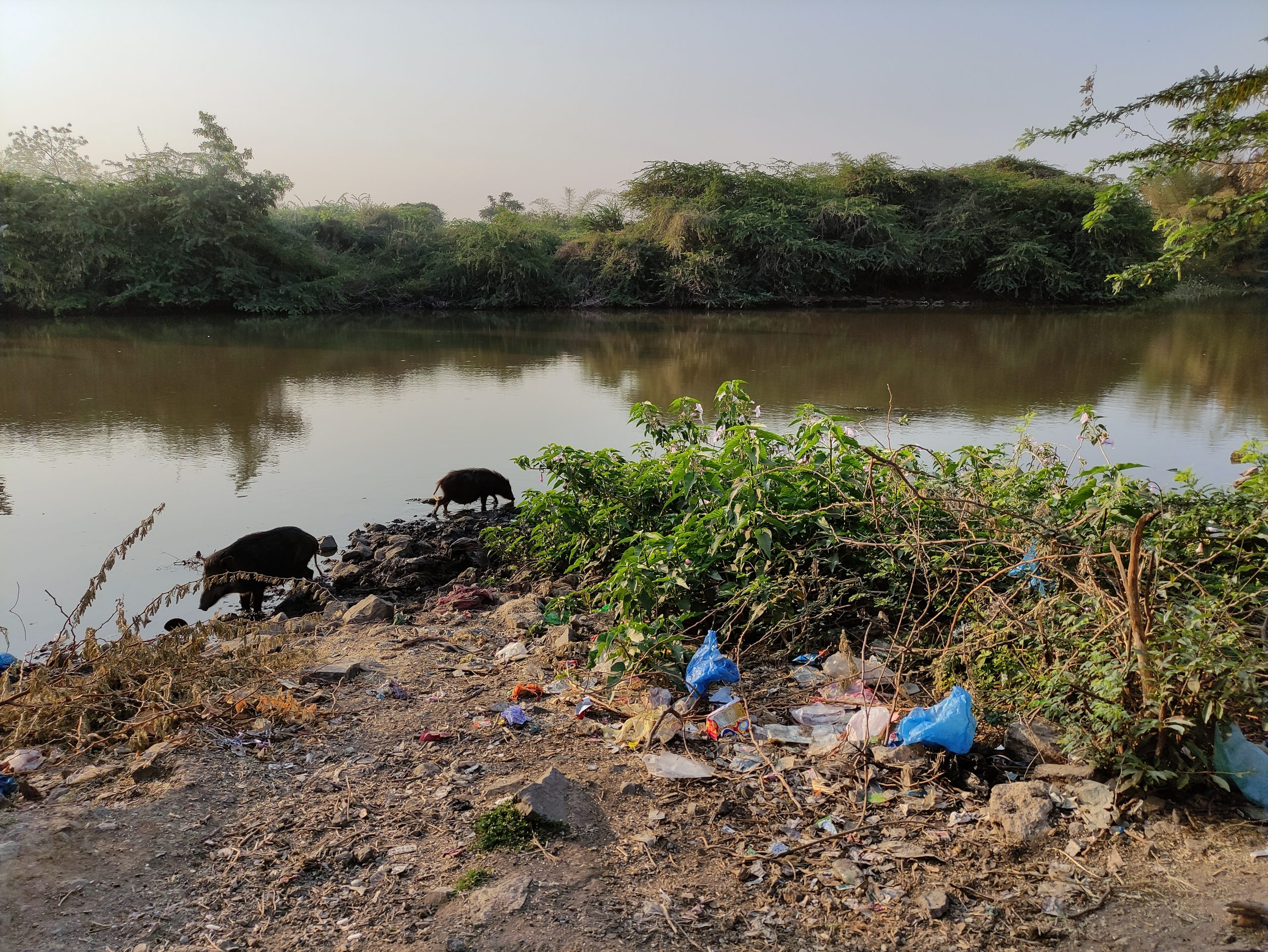 Pigs and waste material near a pond