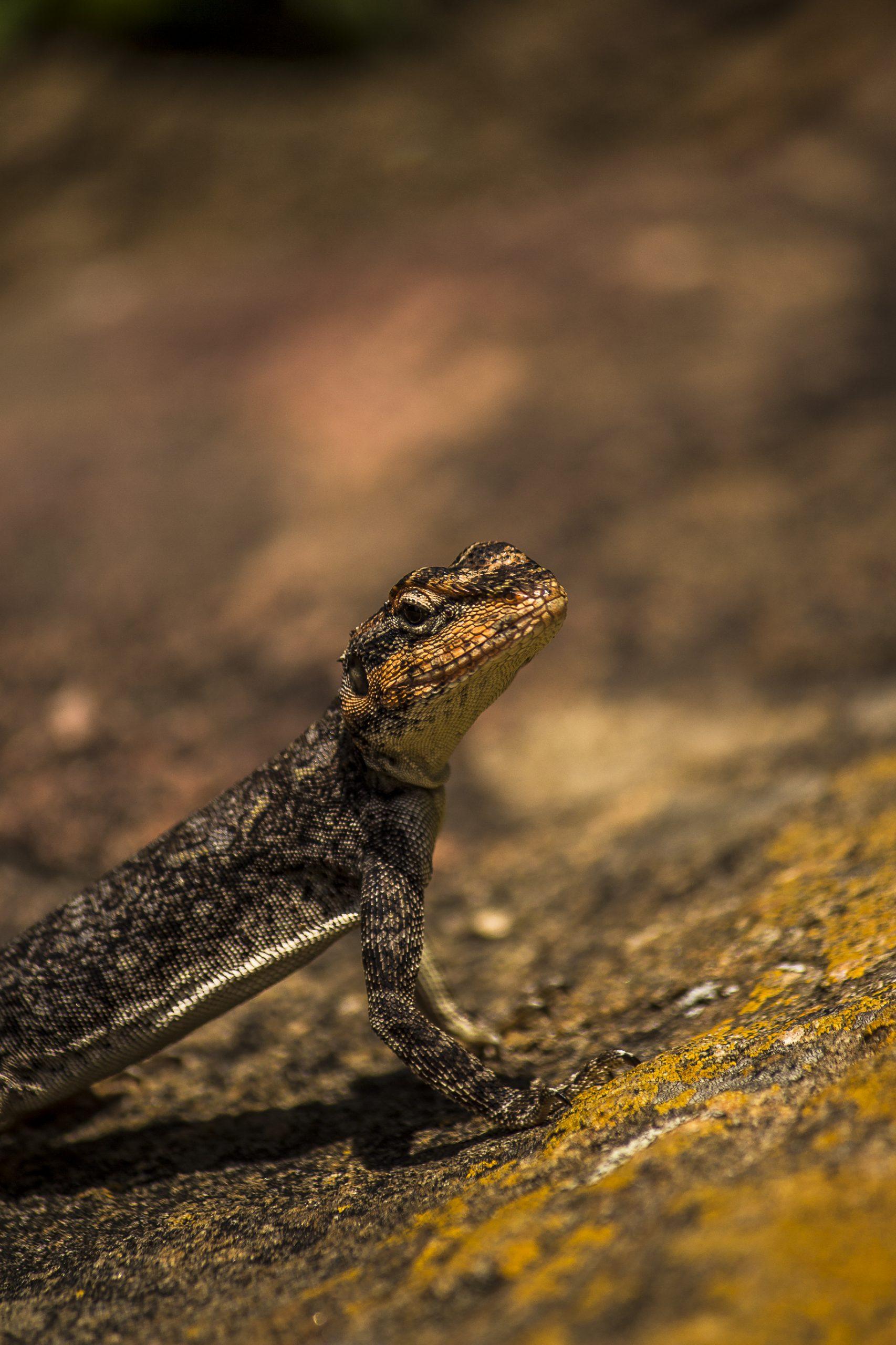 Portrait of a Garden Lizard