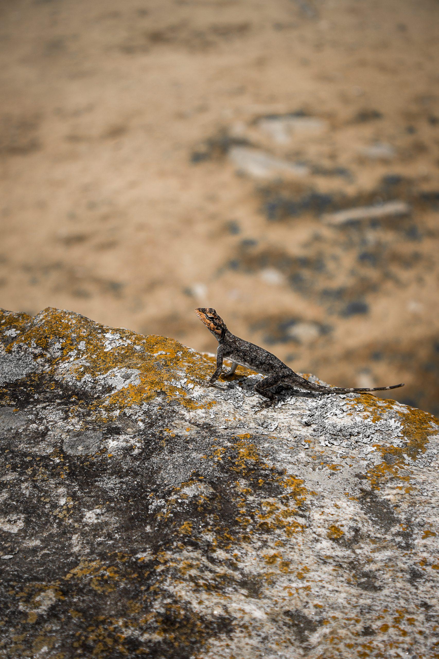 Portrait of a Garden Lizard on rock