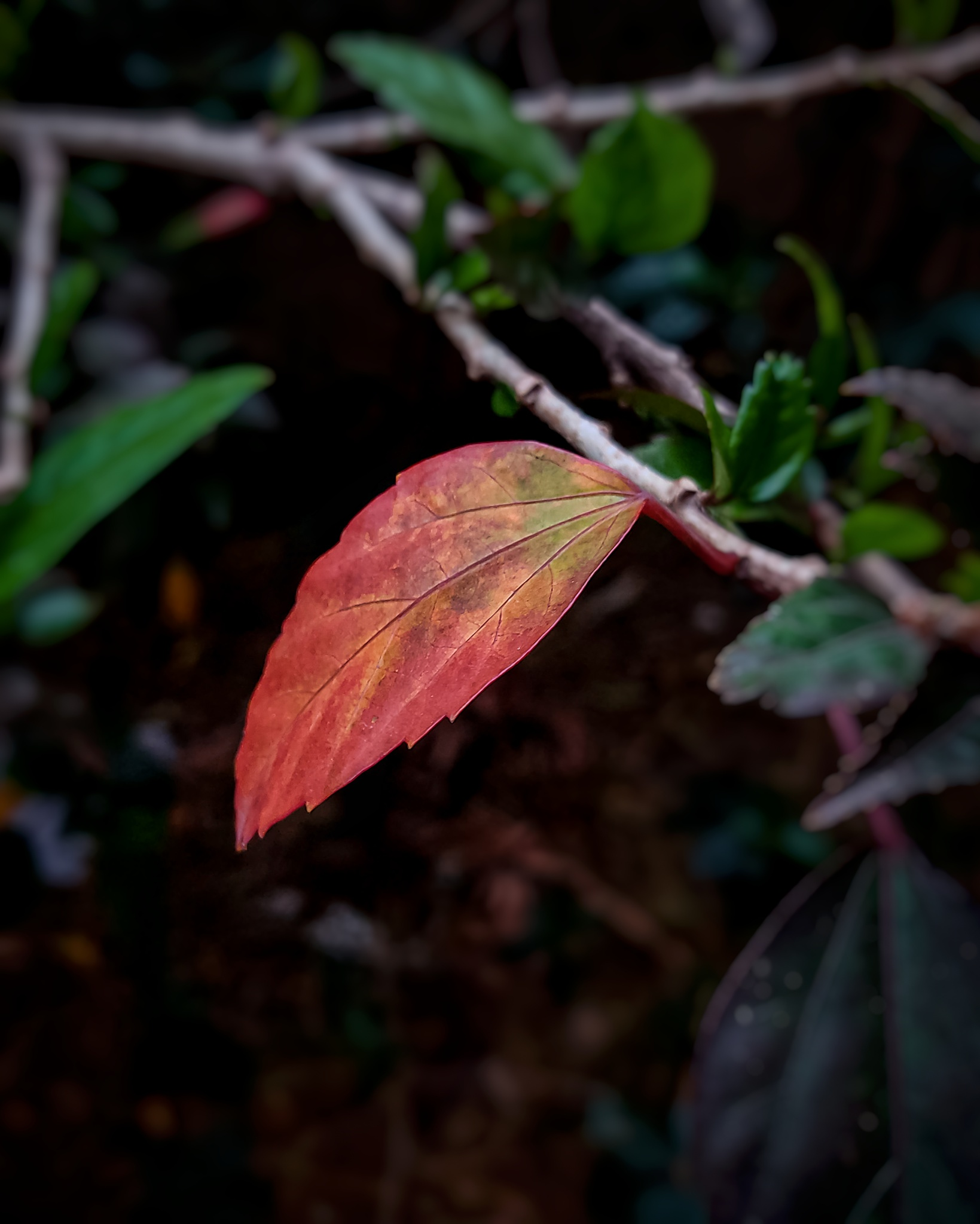 Portrait of a dried red leaf