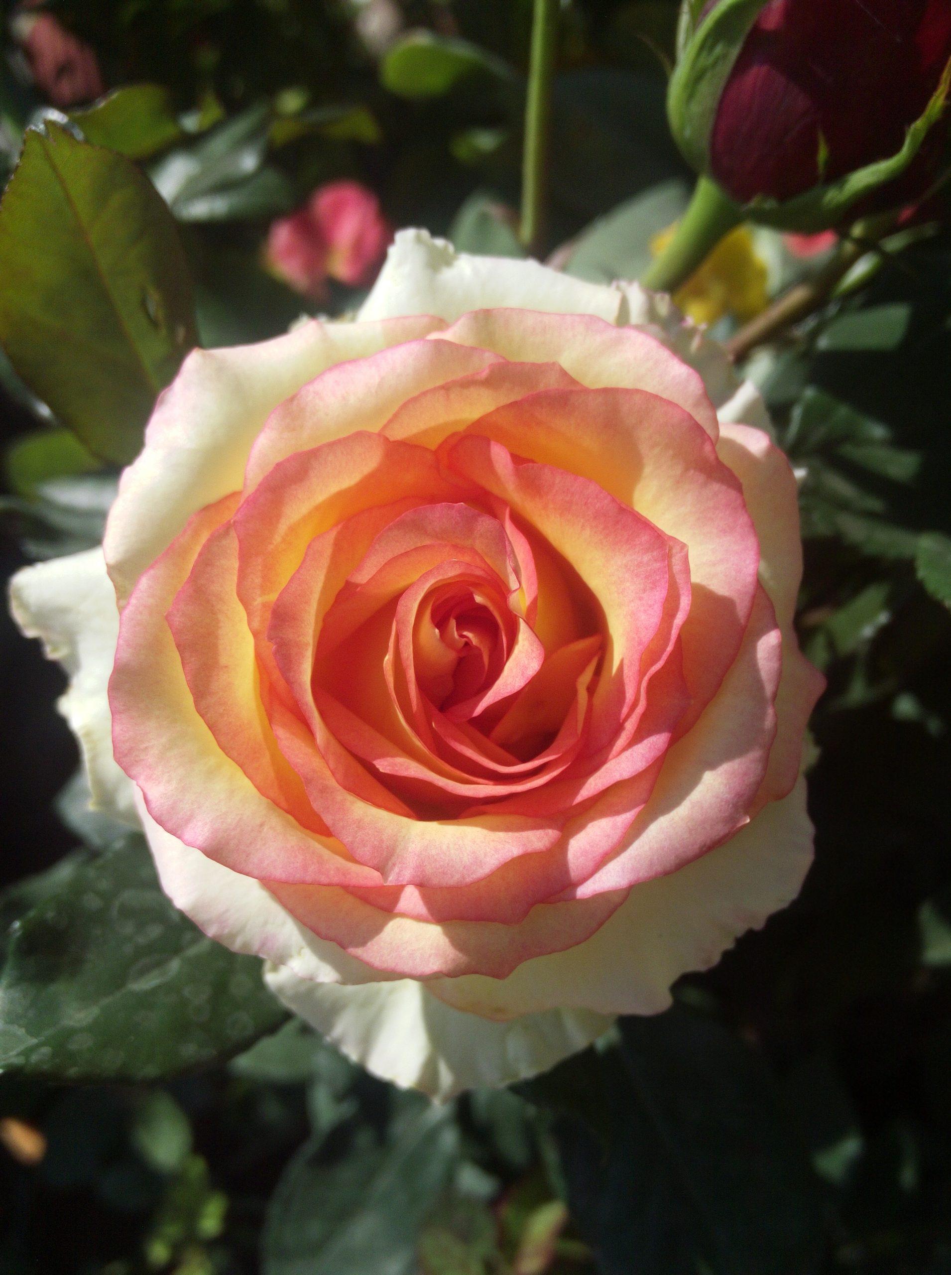 Blooming rose