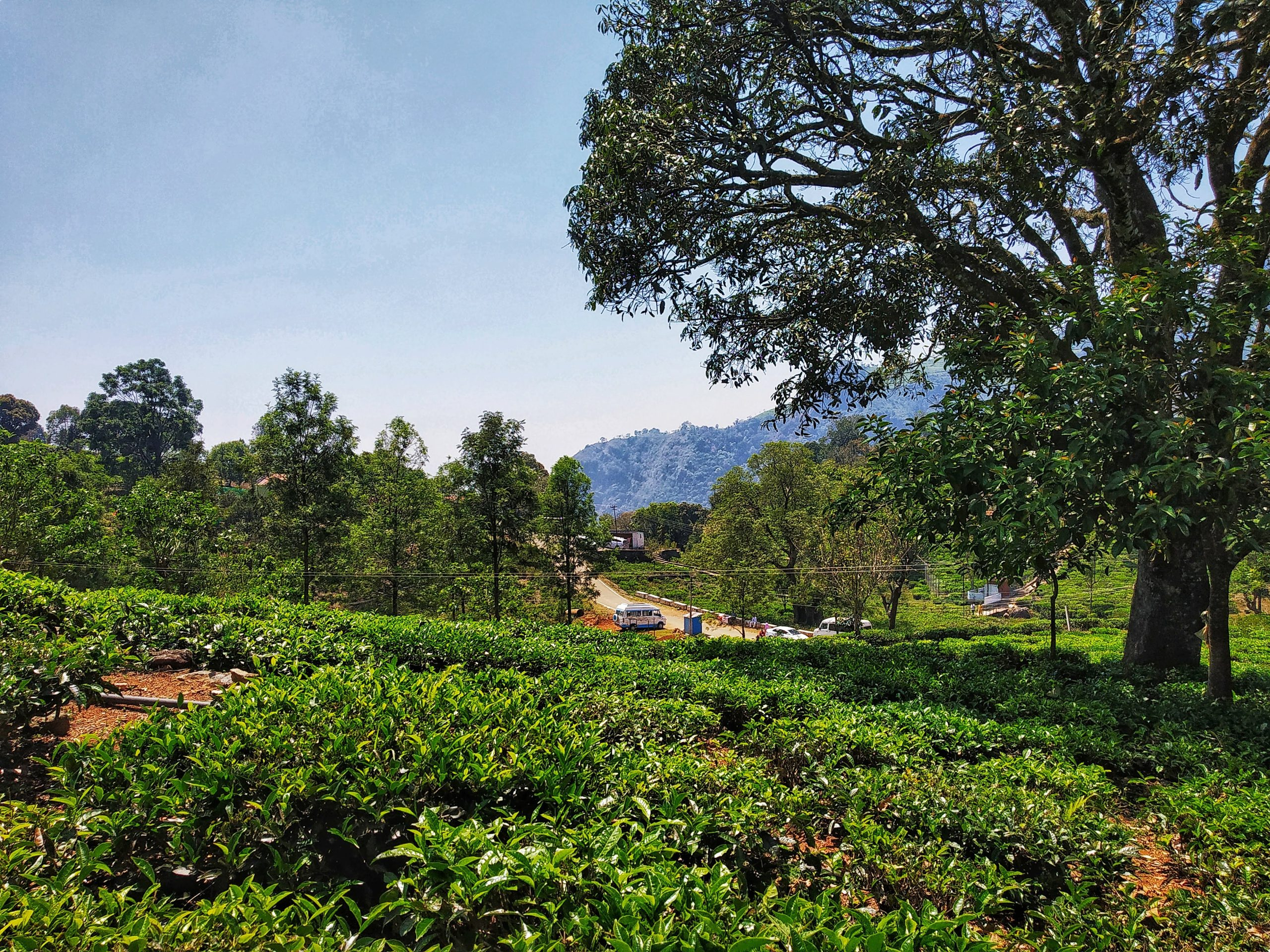 Tea farm land