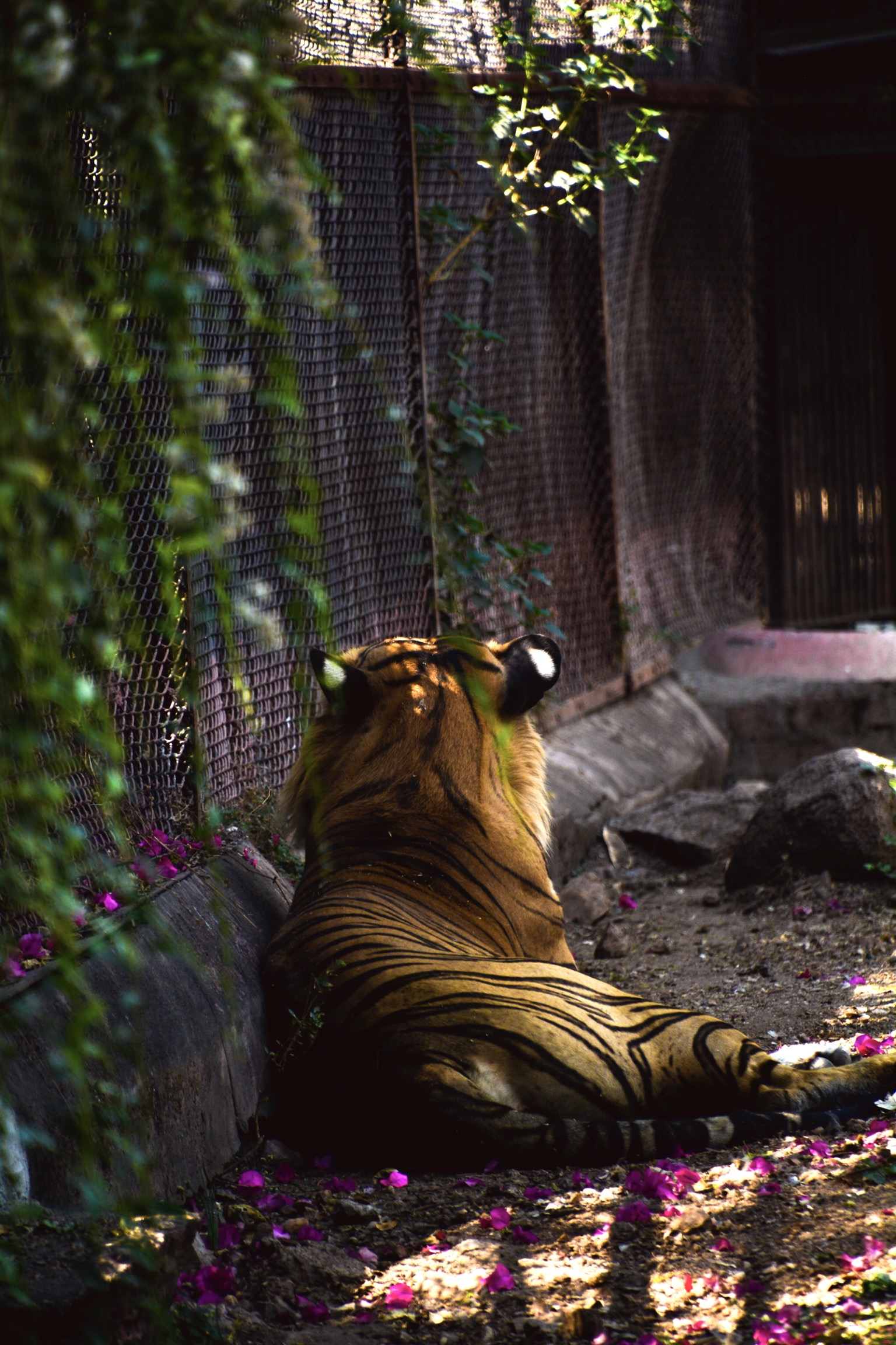 Tiger sitting near the cage