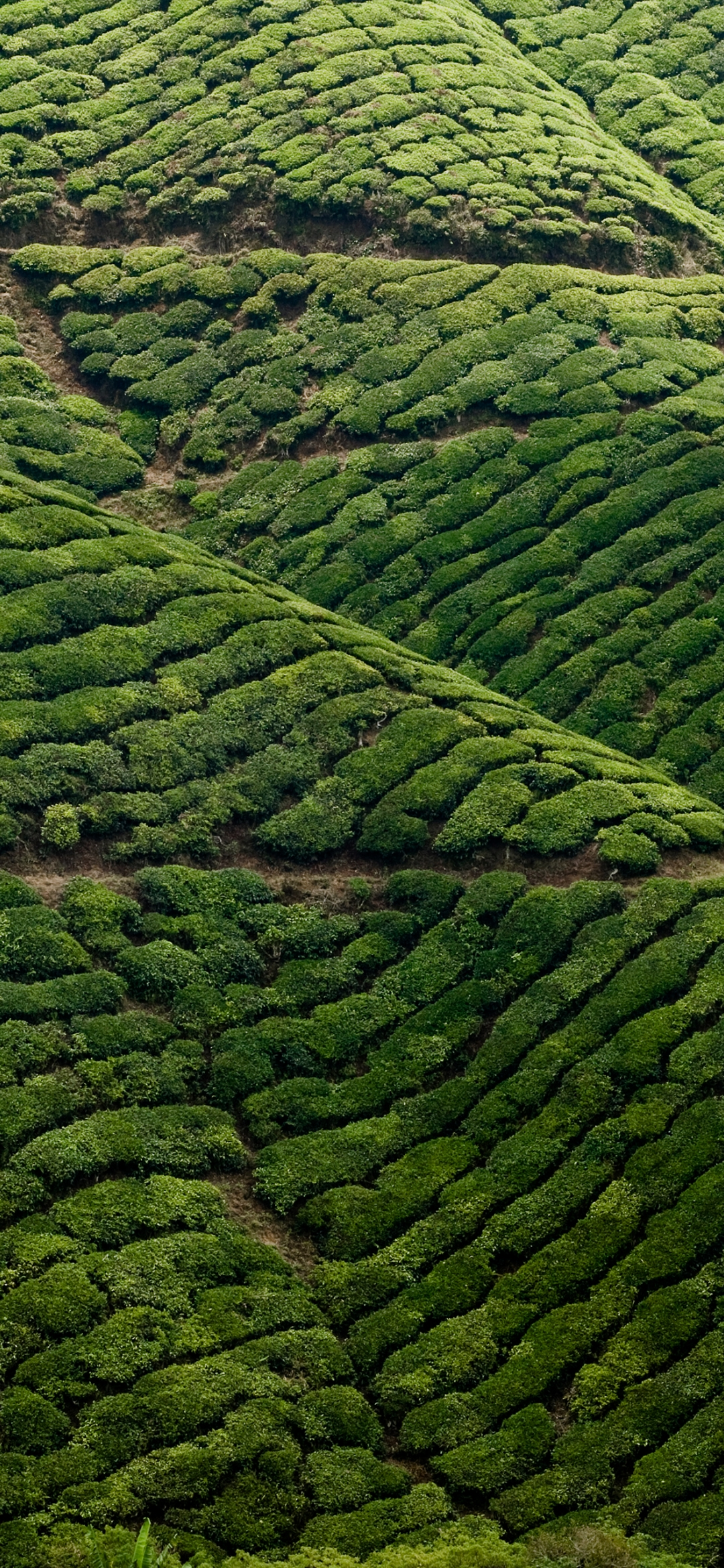 Aerial view of a tea estate