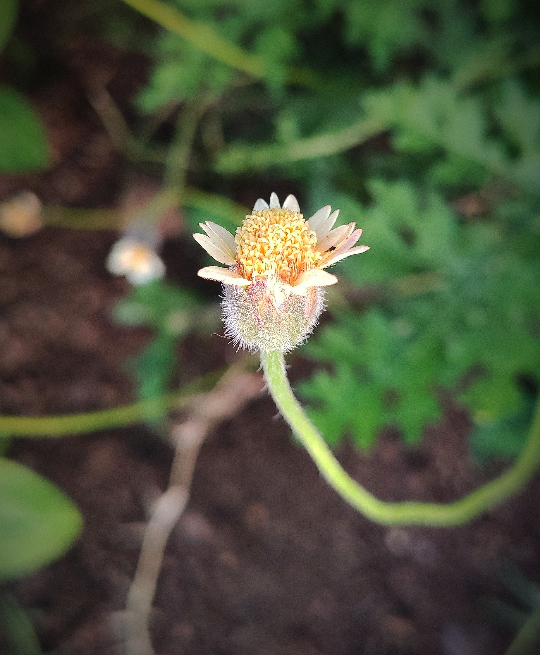 Tridax steam flower