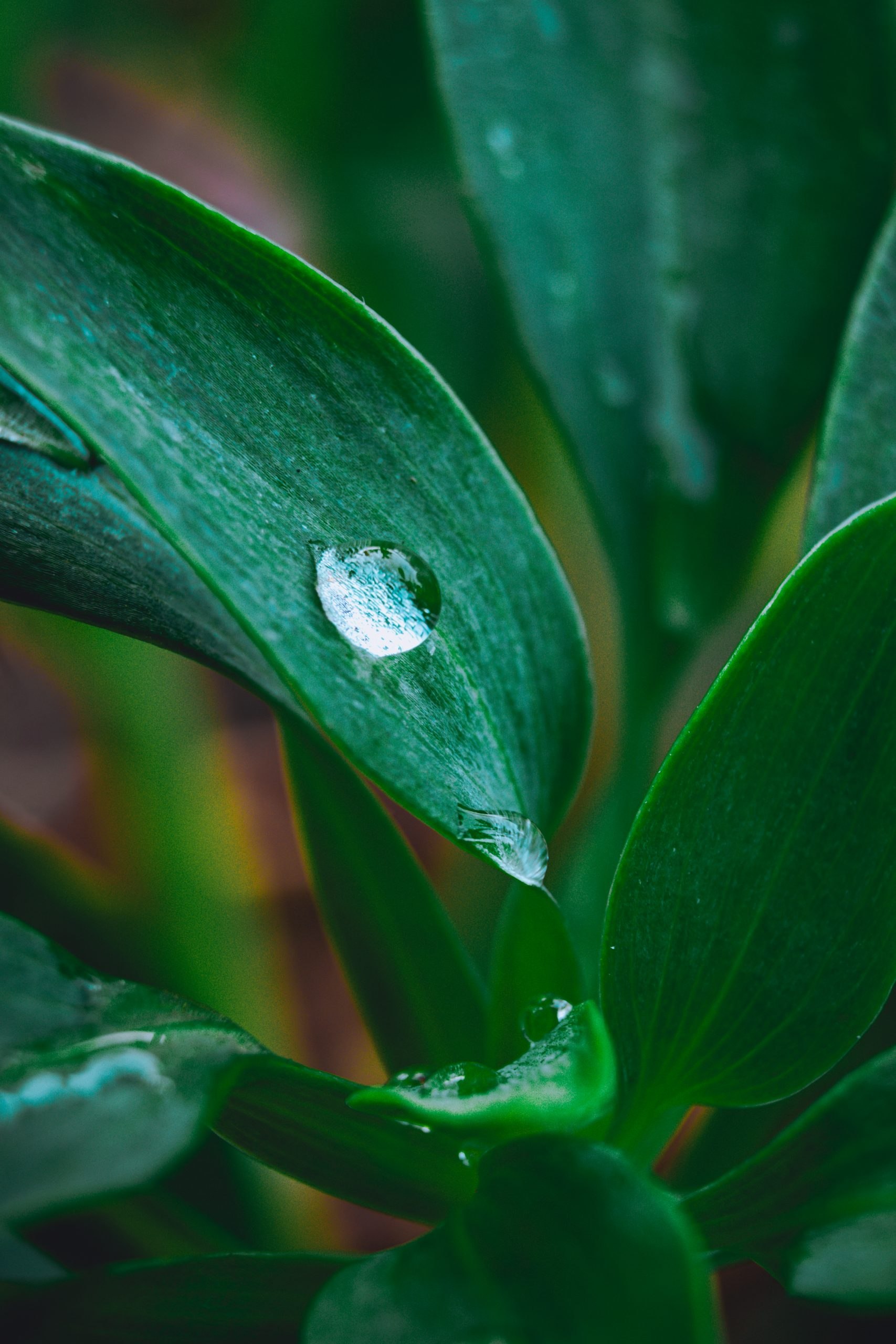 Water drop on the plant leaf