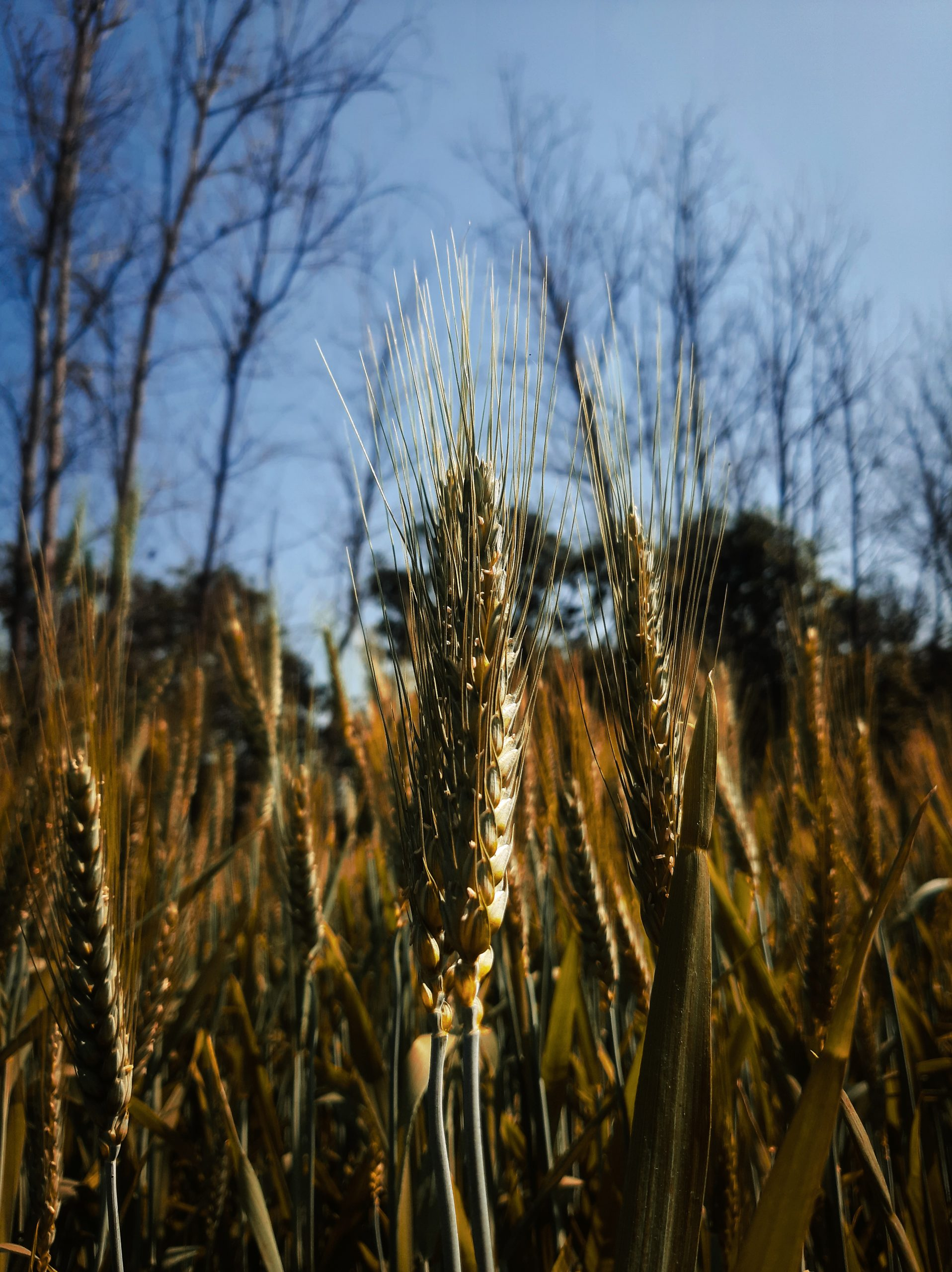 Wheat plants in a field