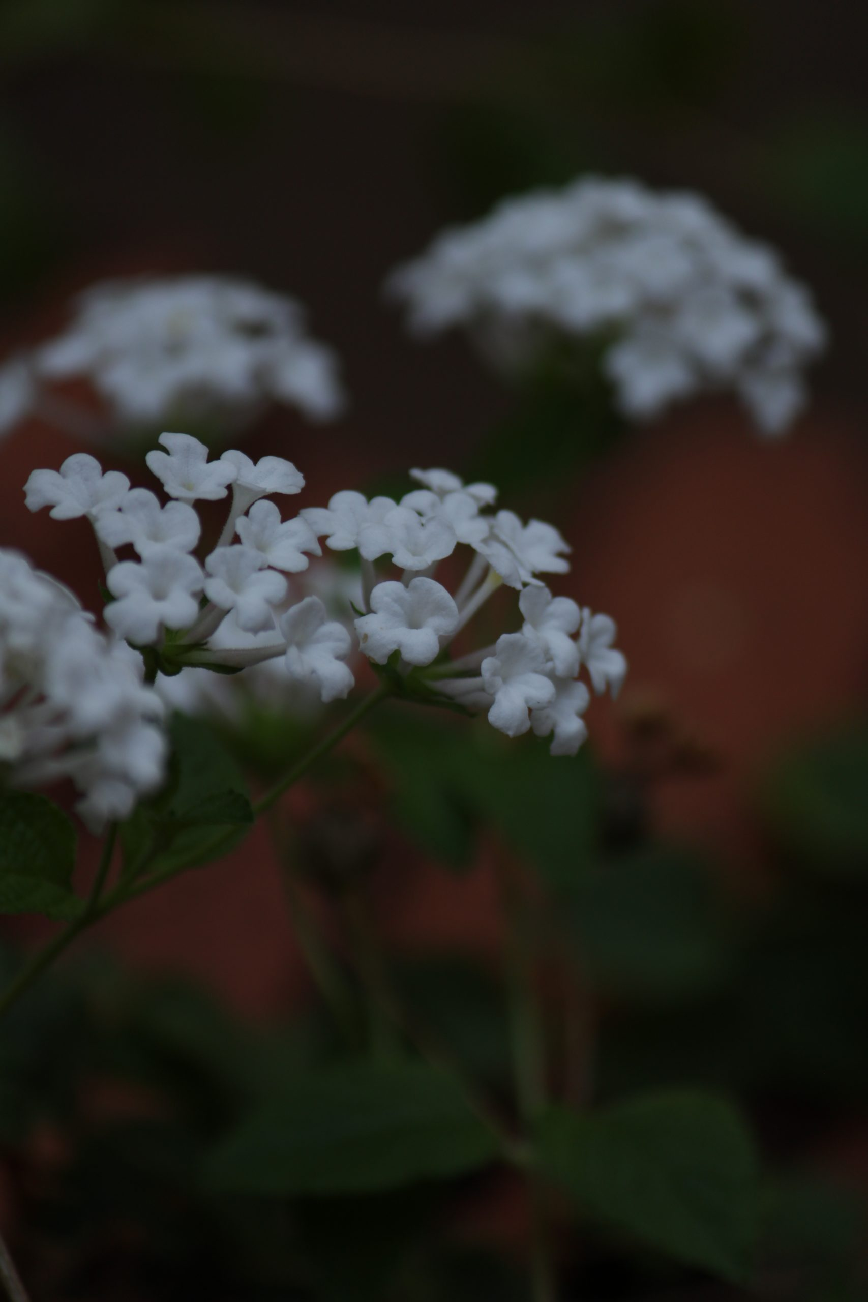 White flowers of a plant
