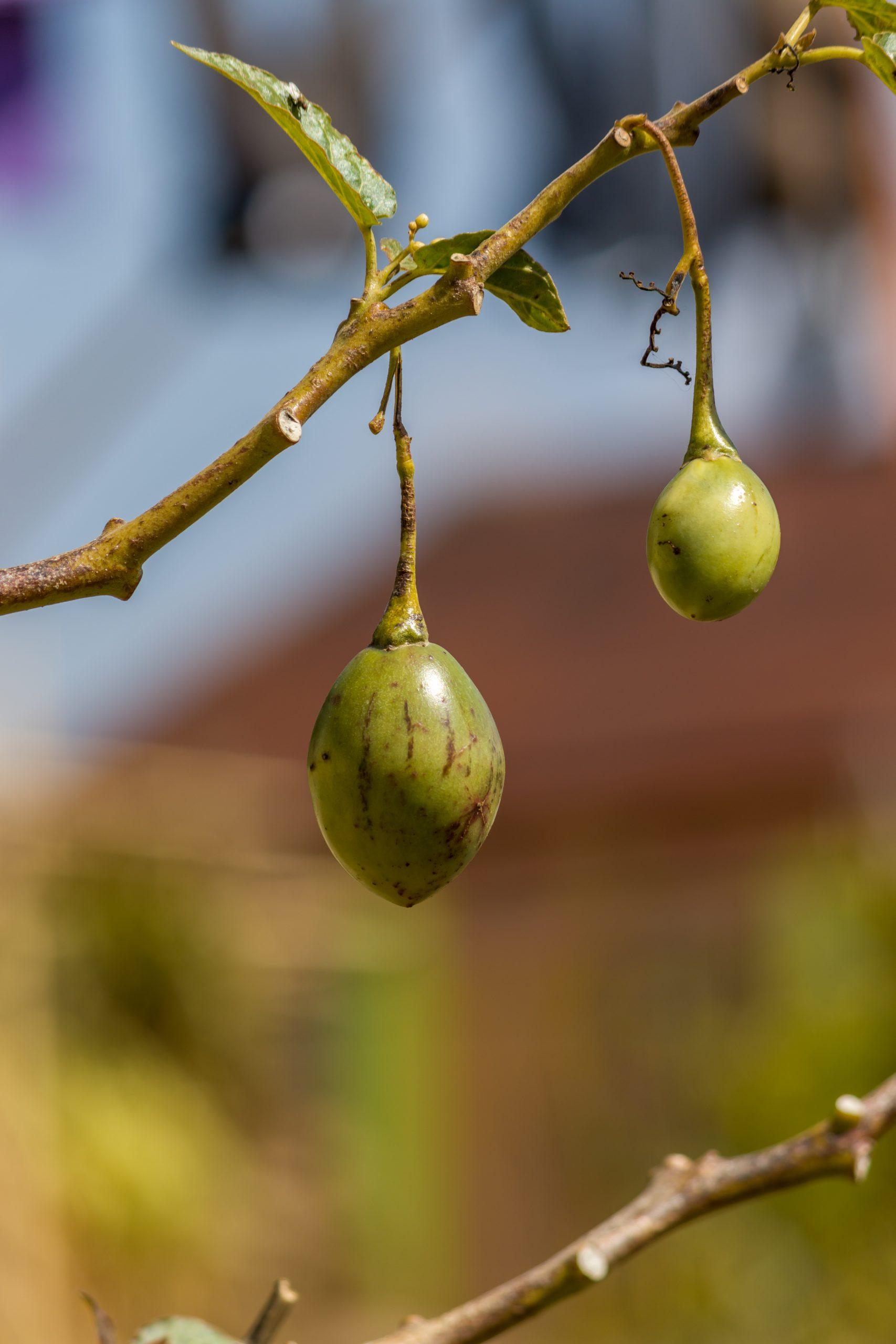 Wild fruit plant