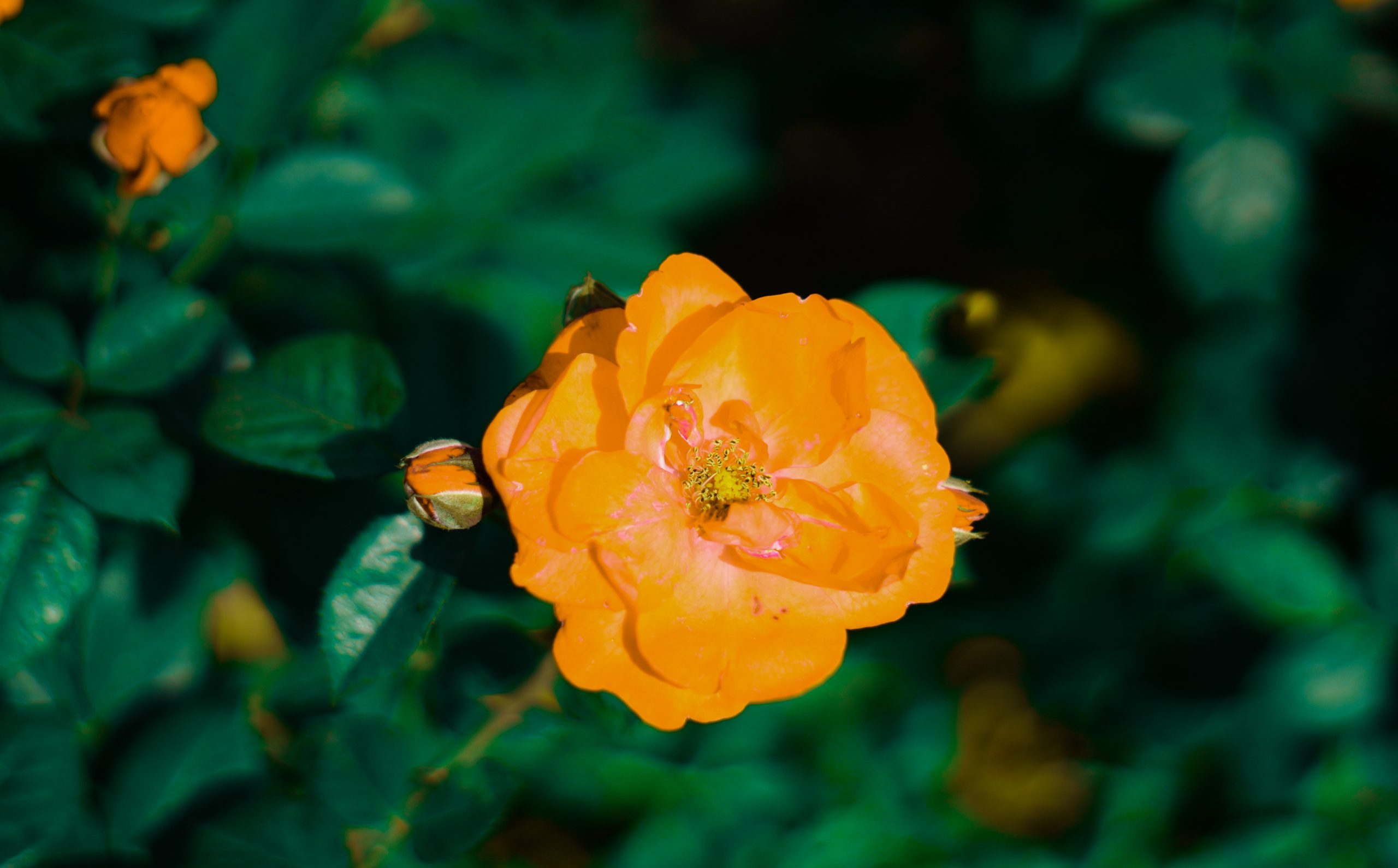 Yellow Rose on the plant