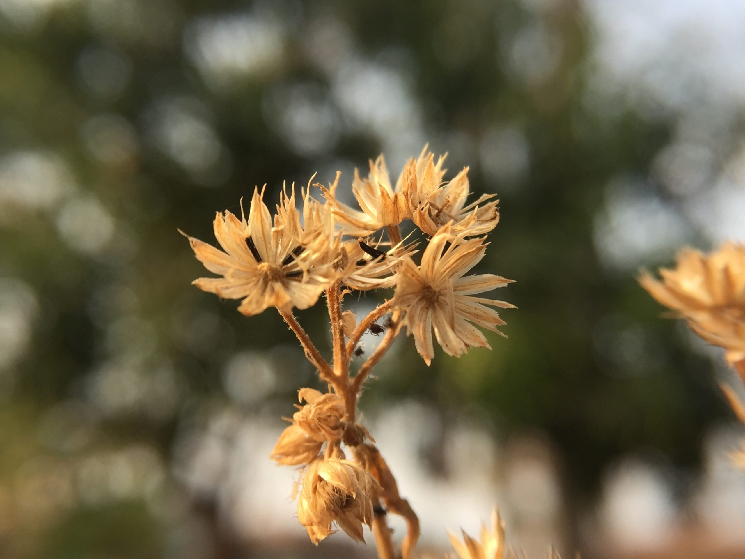 Dry flower on dry plant