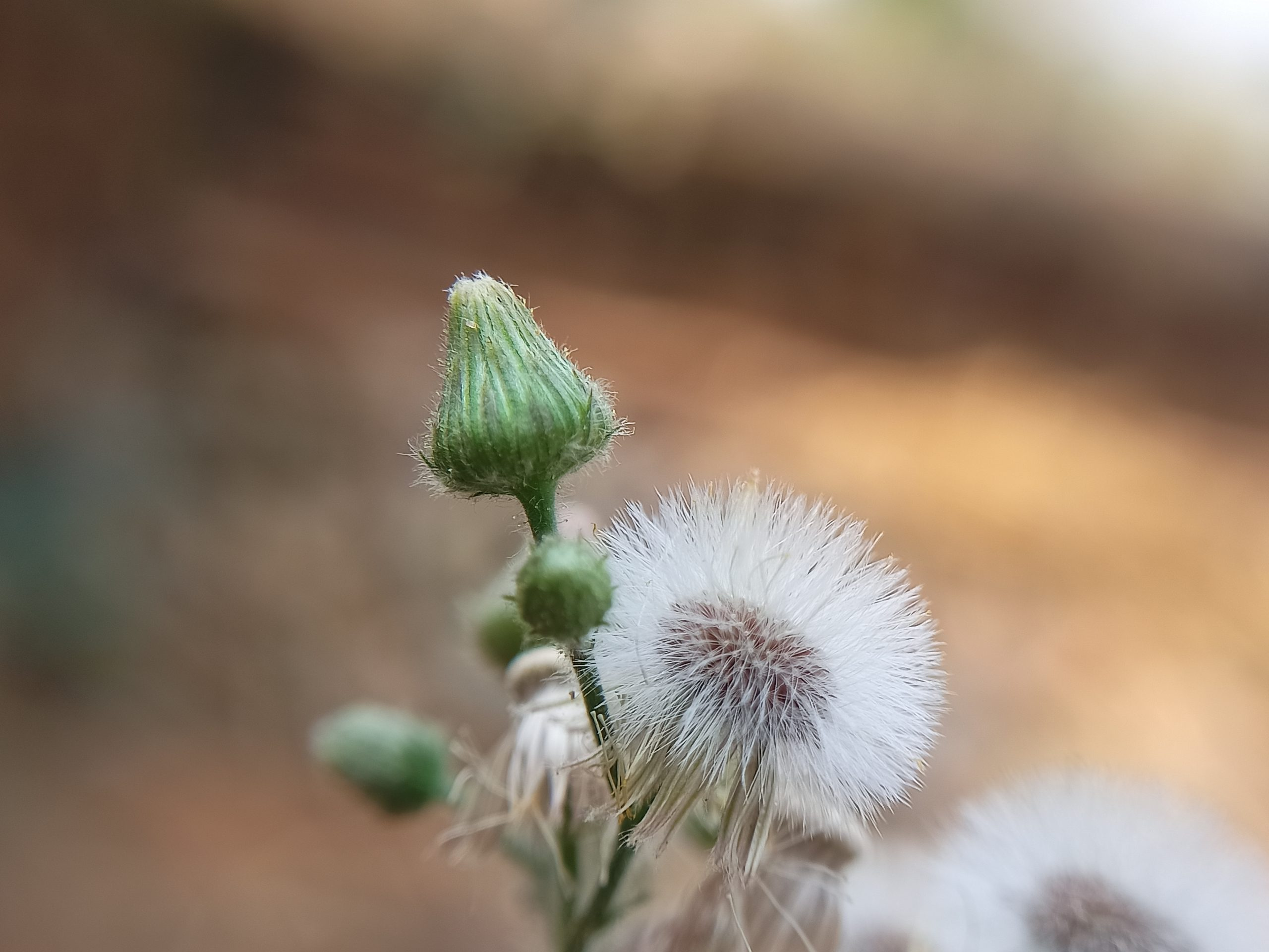 Blooming bud of dandelion