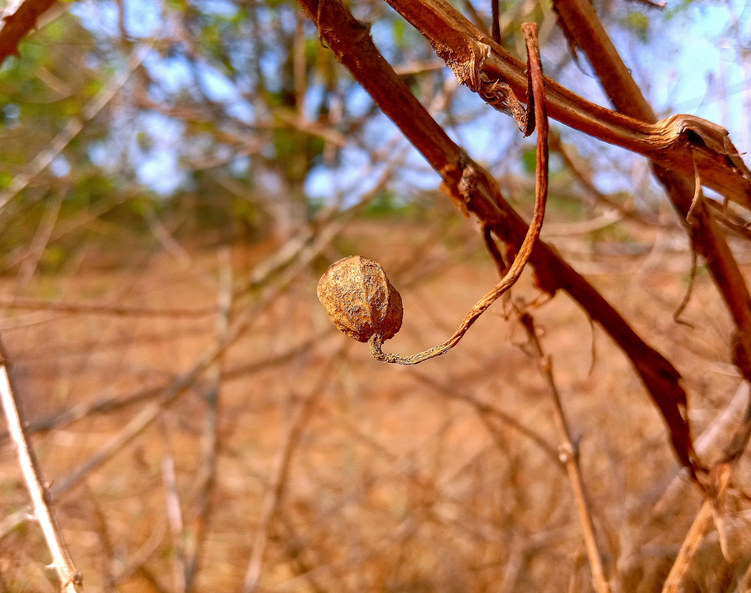 Dry flower buds on the plant