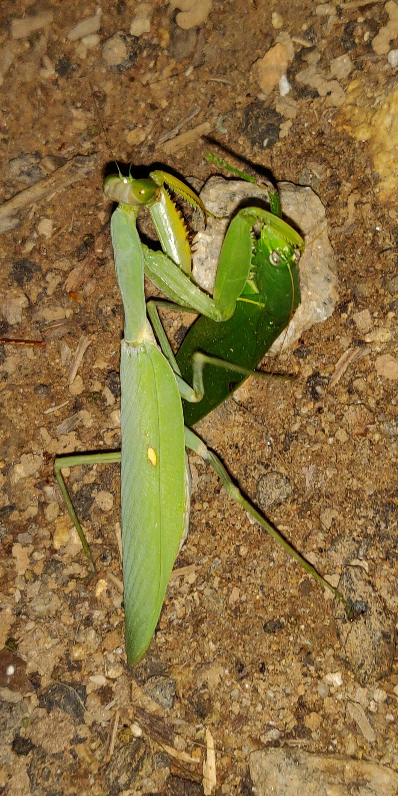 Grasshoppers on ground