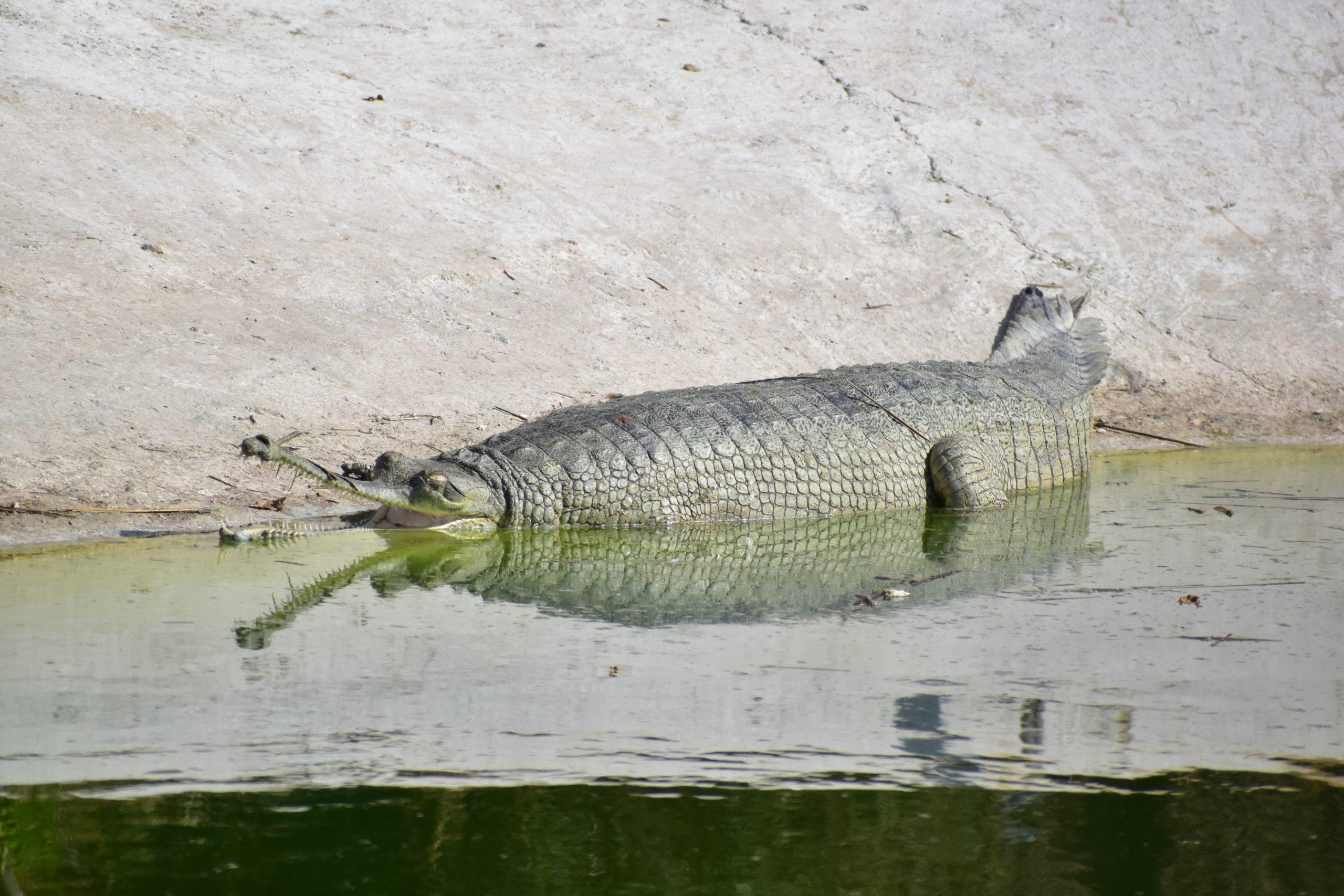 A Gharial in water