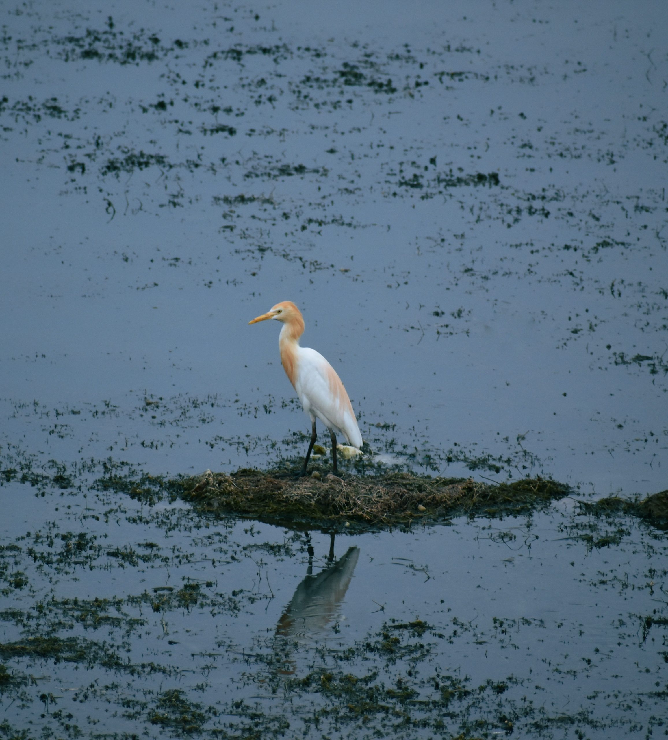 A cattle egret in a pond