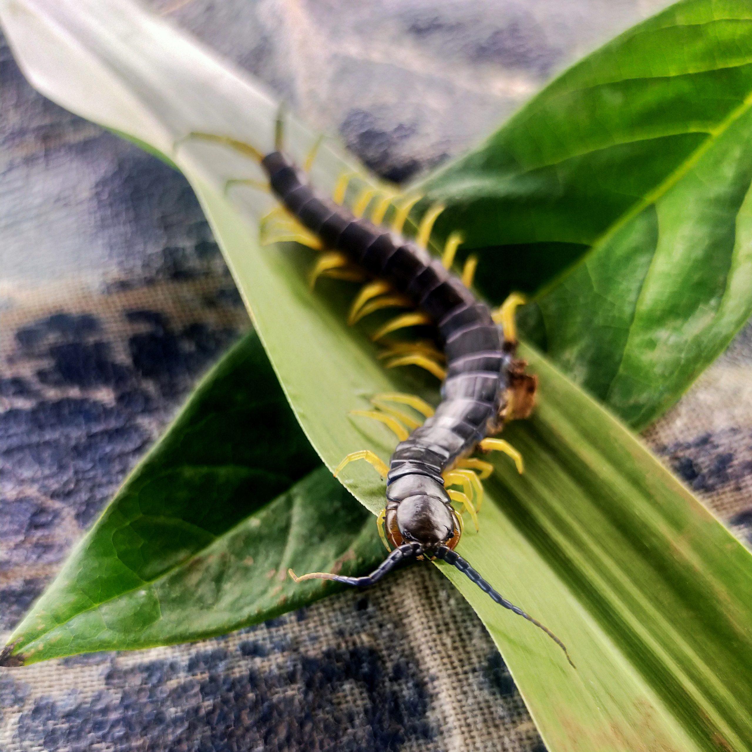 A centipede on leaf