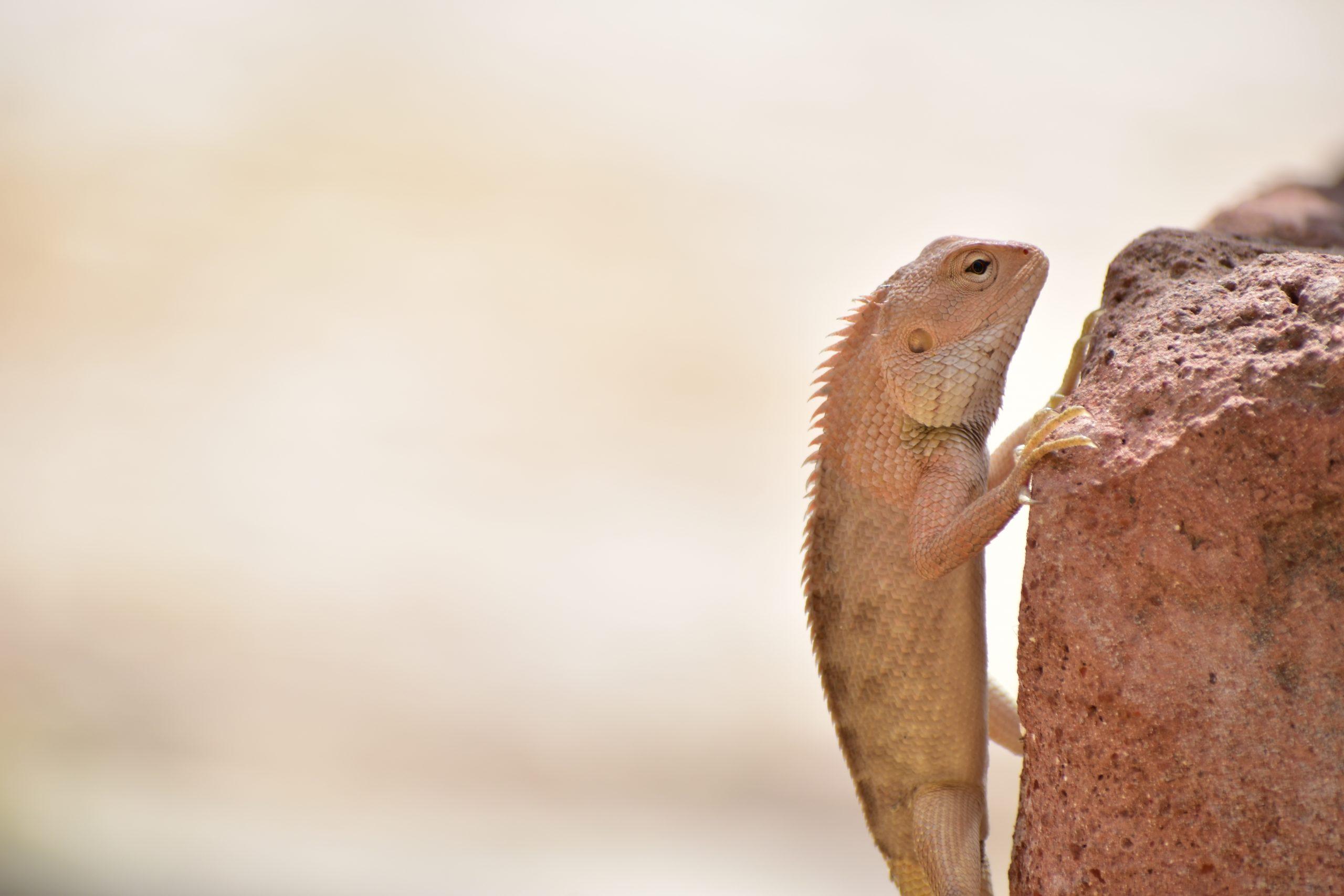 A chameleon on a rock