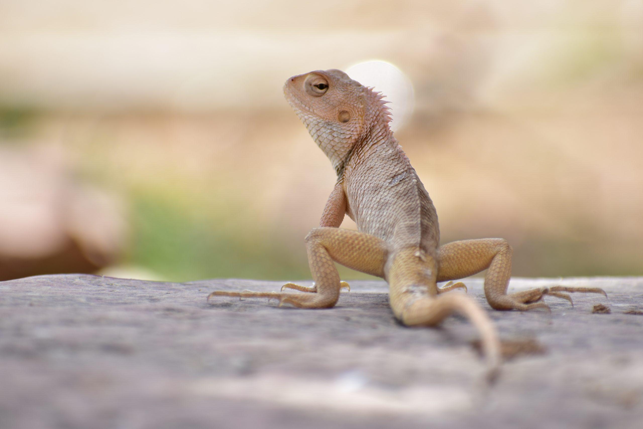 A chameleon on a rock surface