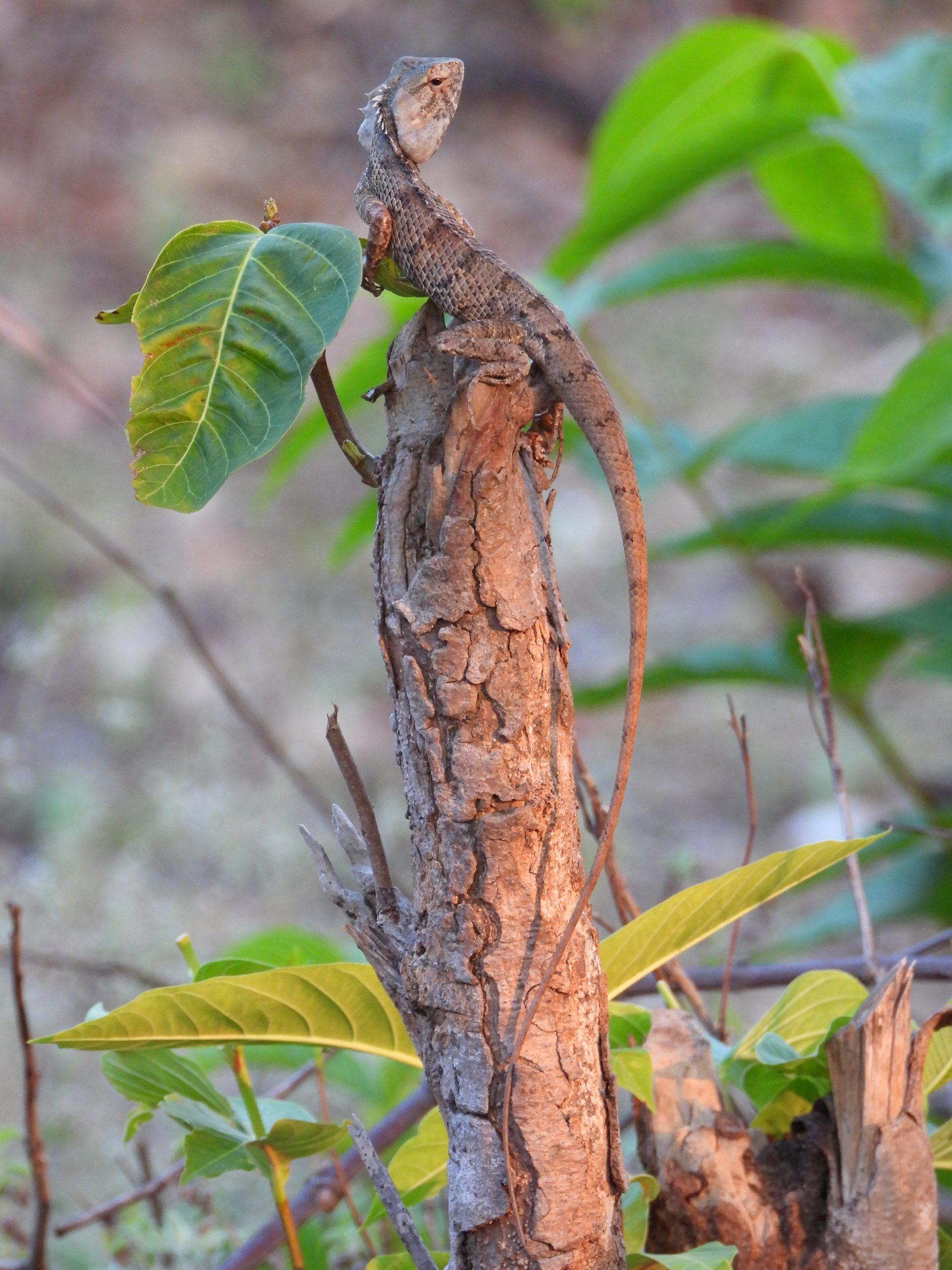 A garden lizard on a plant stem