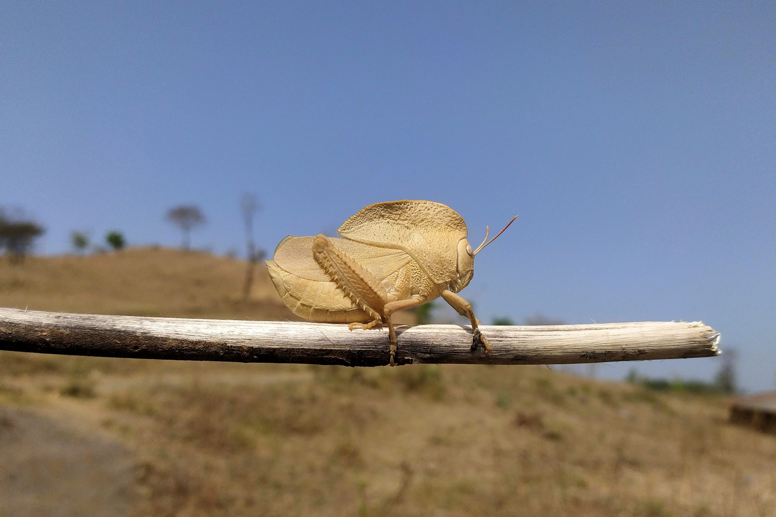 A grasshopper on stick