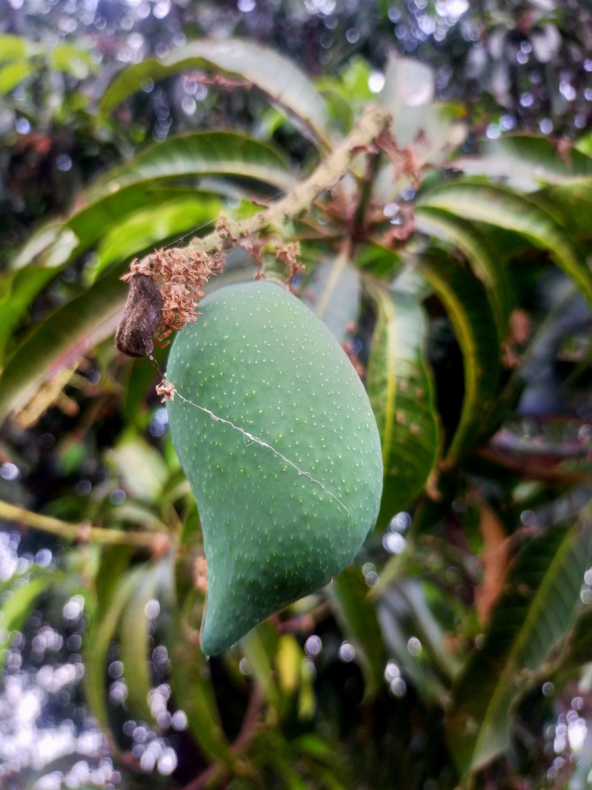 A green mango on its tree