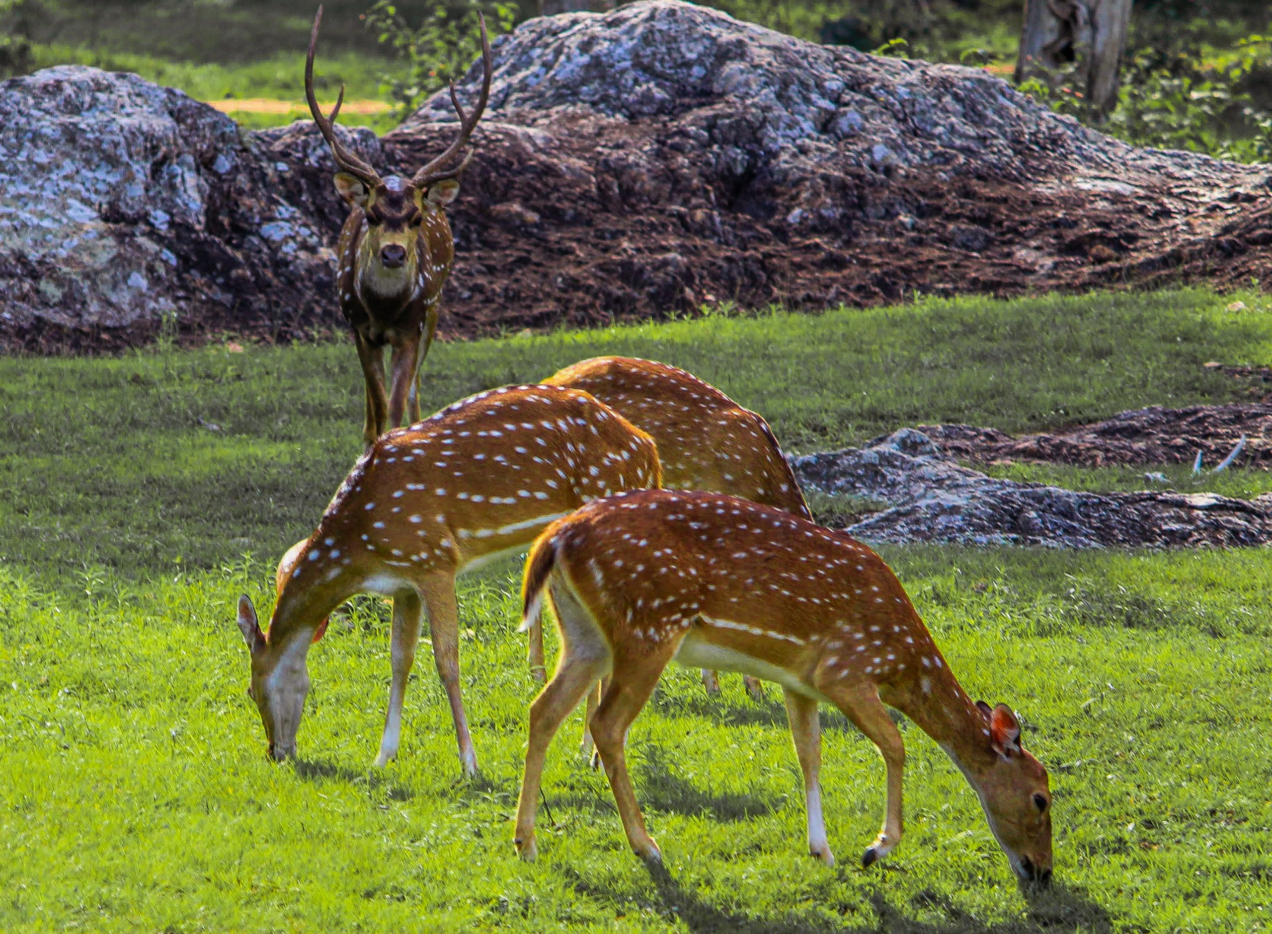 A herd of spotted deer in a jungle
