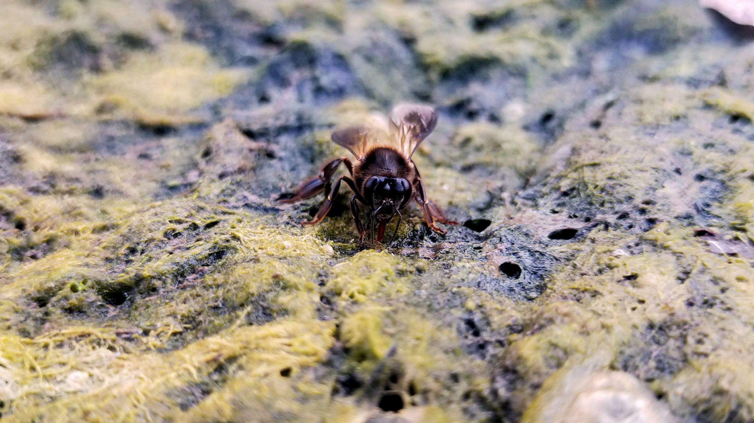A honeybee sitting on algae