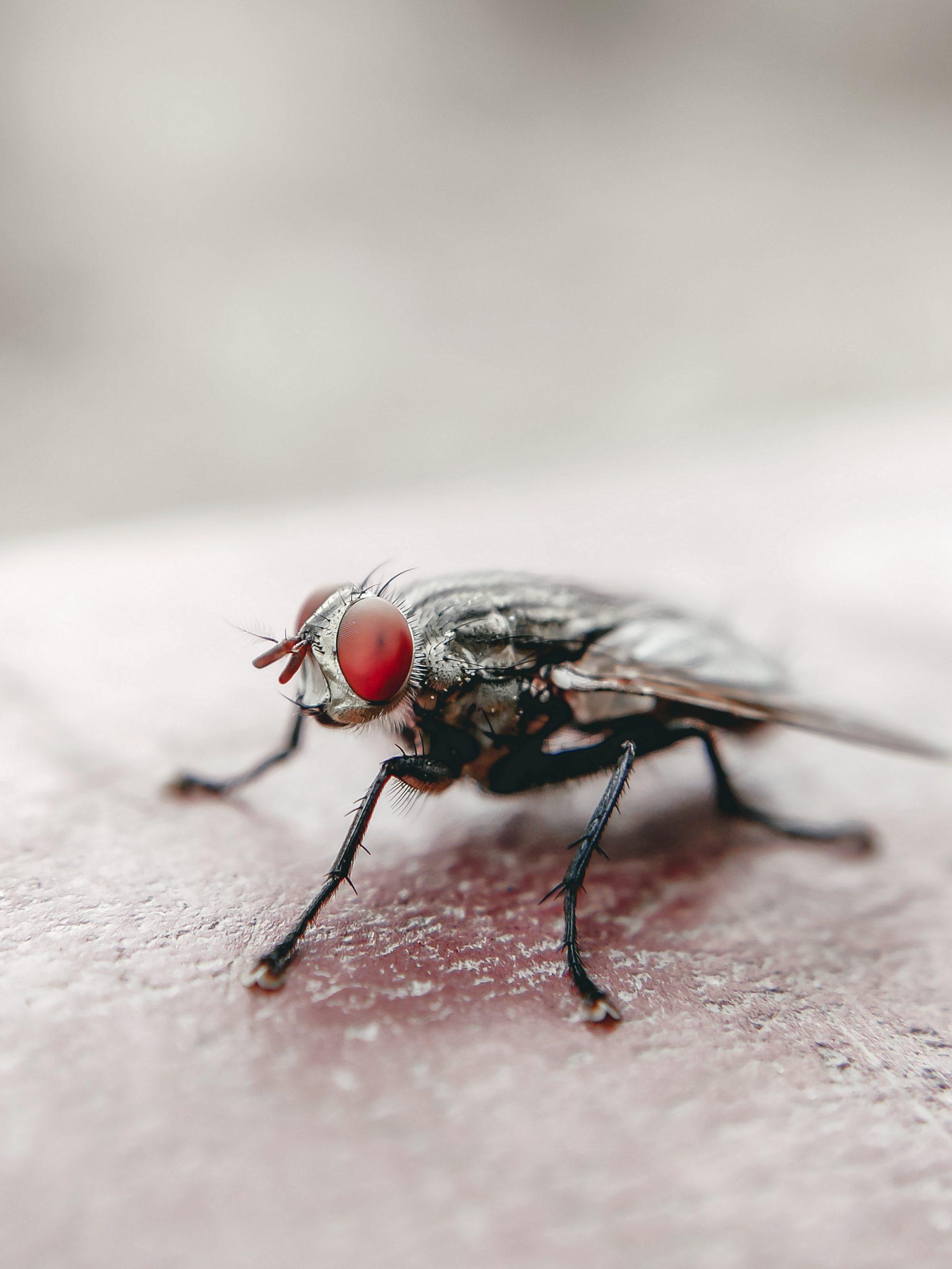 A housefly