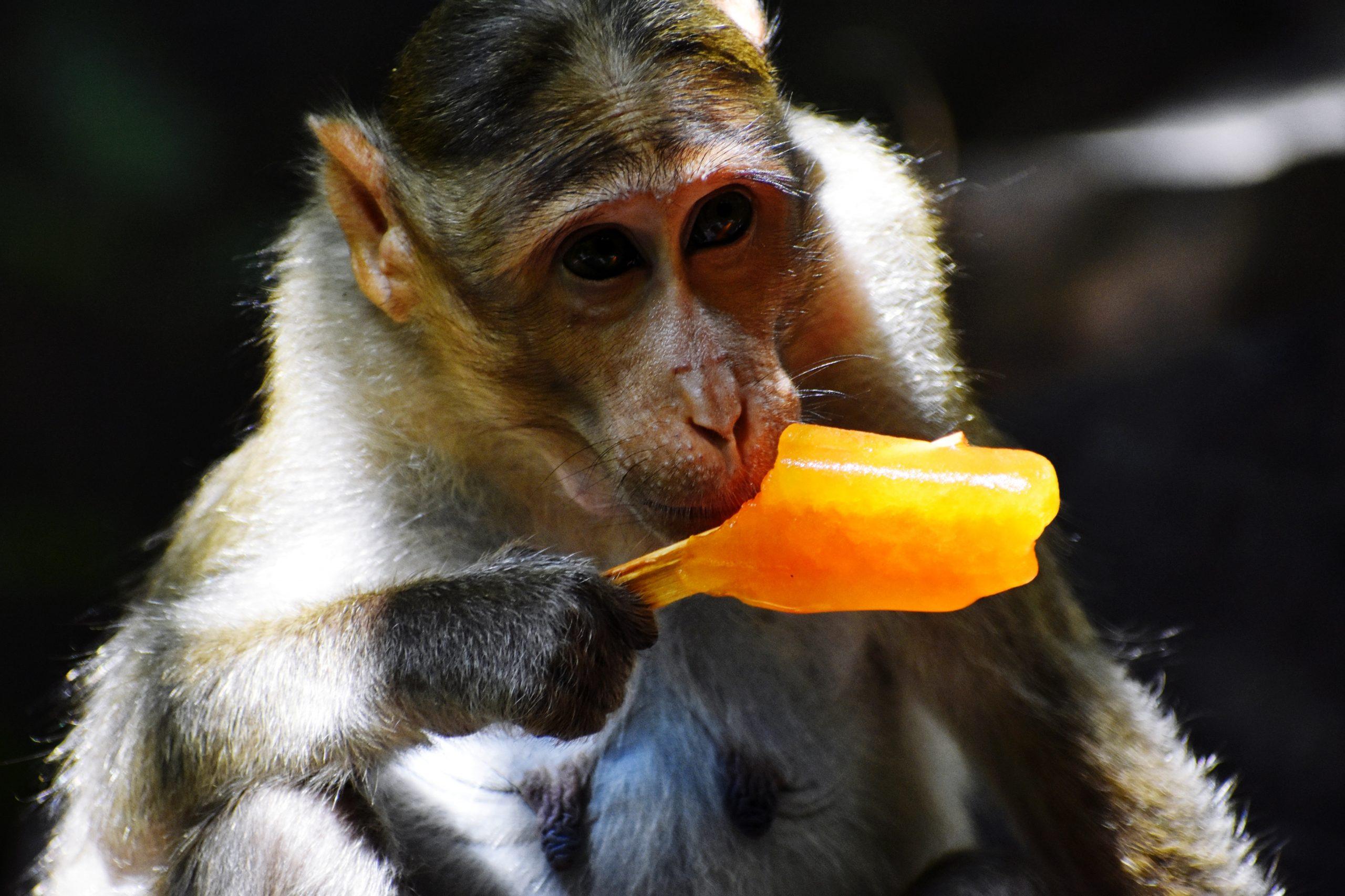 A monkey eating an ice pop