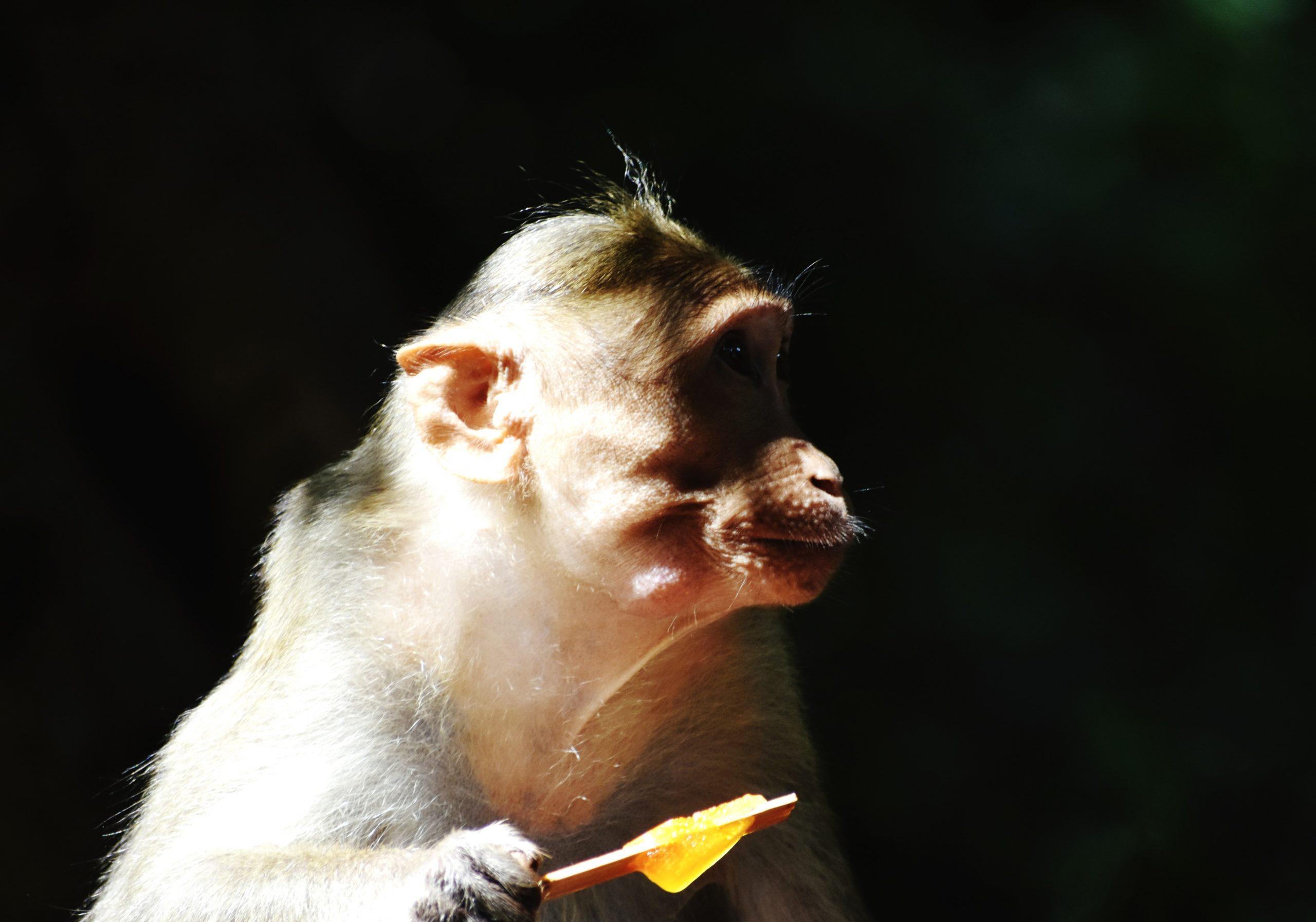 A monkey eating ice pop